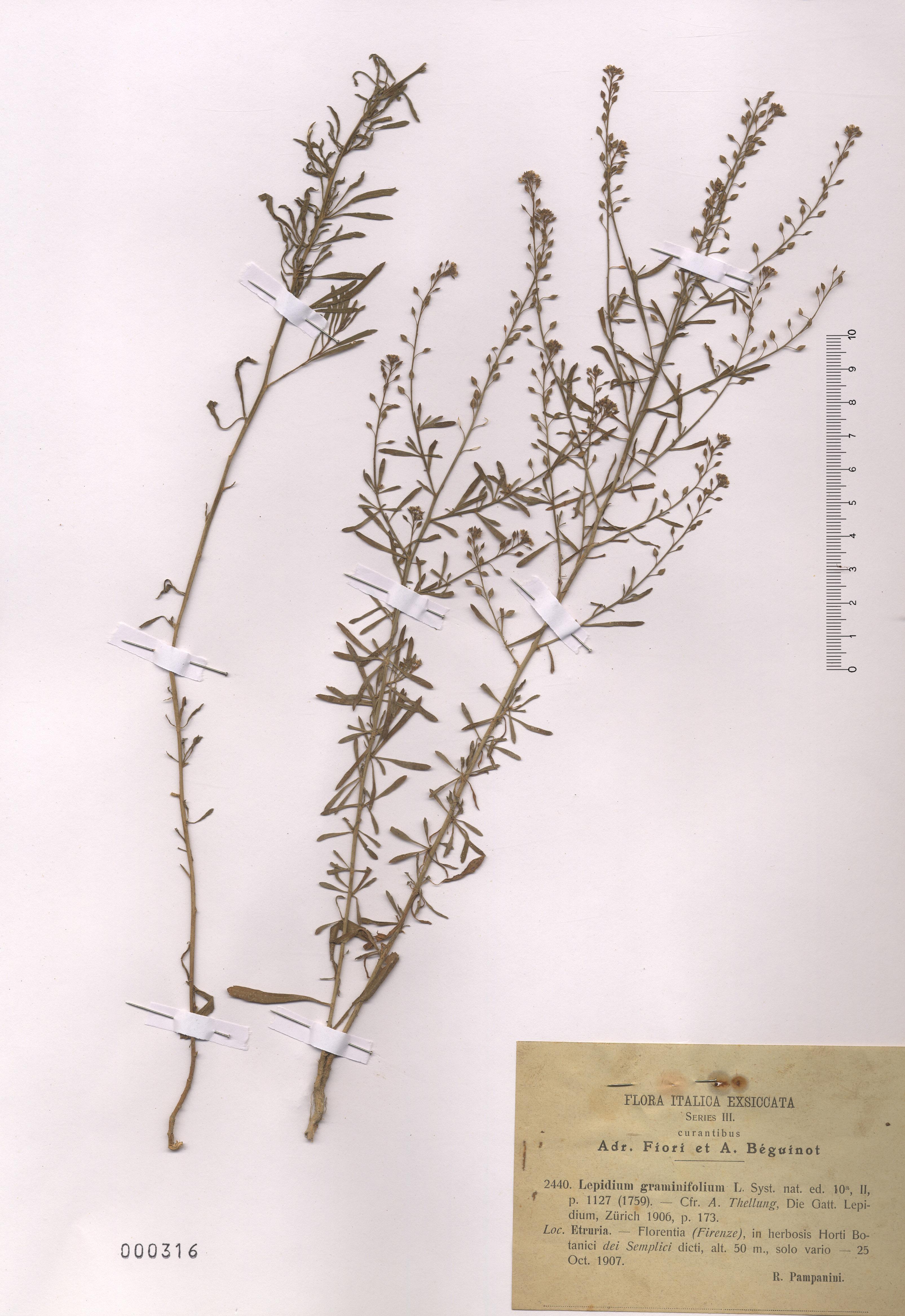 © Hortus Botanicus Catinensis - Herb. sheet 000316<br>