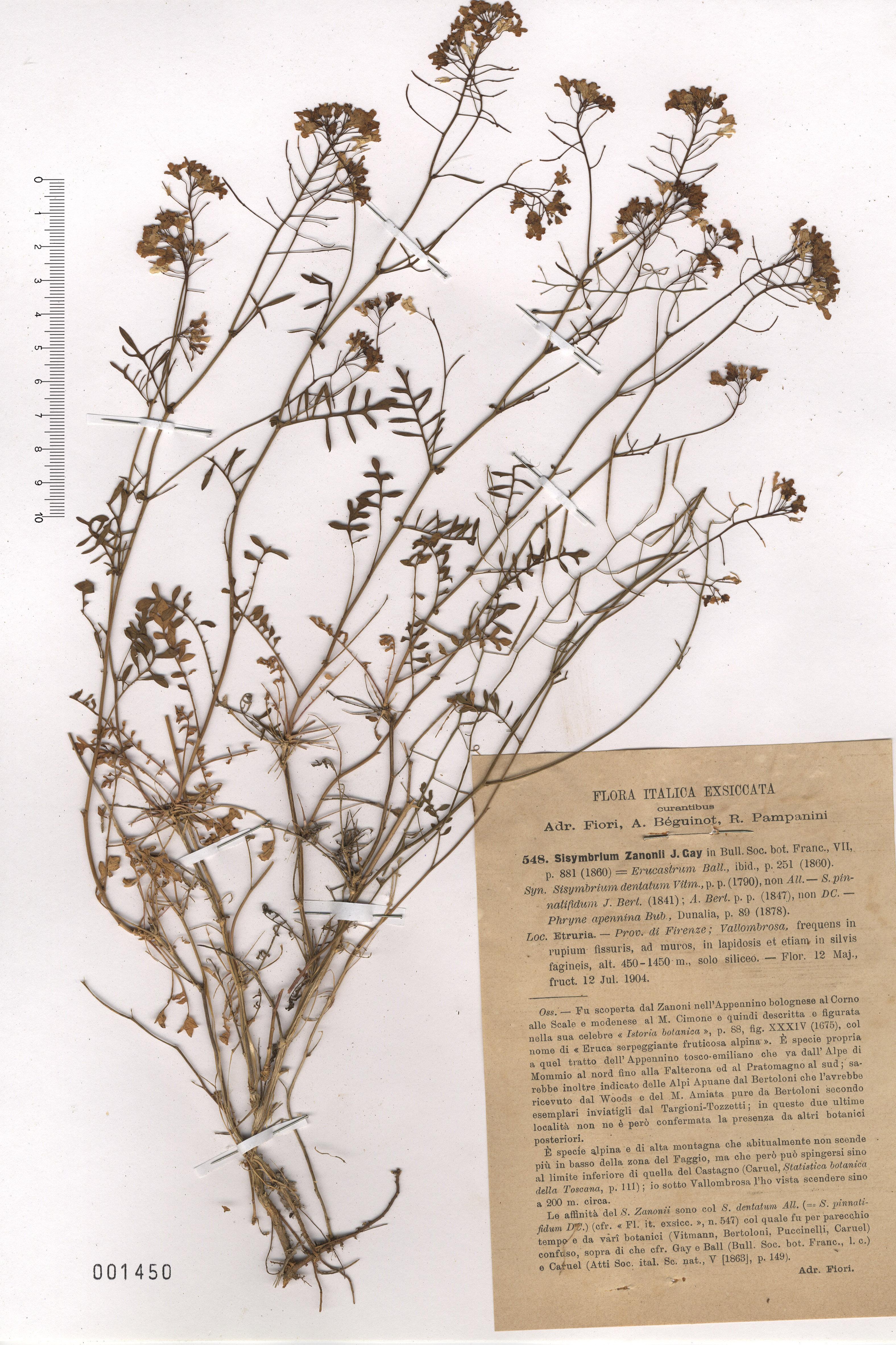 © Hortus Botanicus Catinensis - Herb. sheet 001450<br>