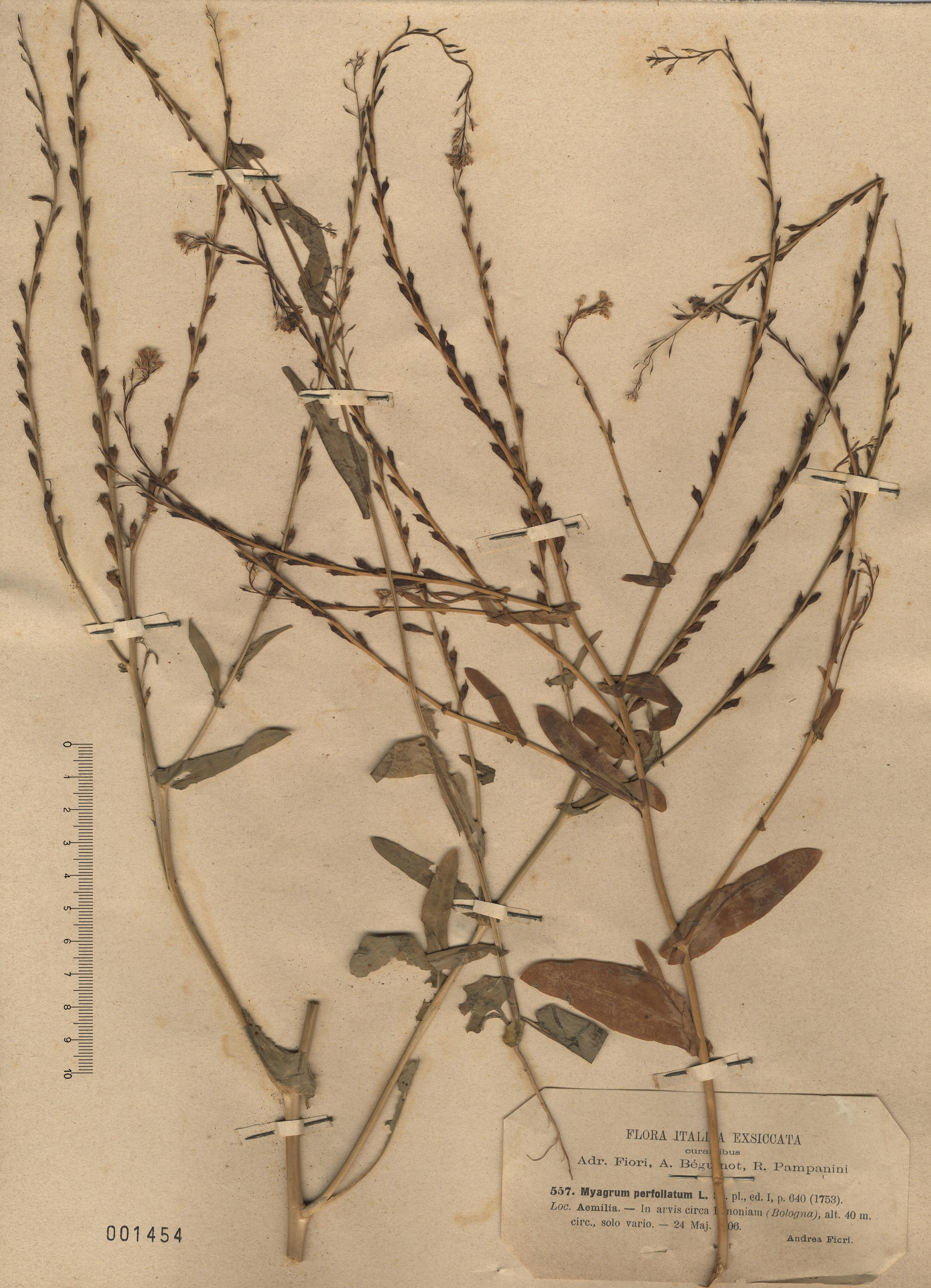 © Hortus Botanicus Catinensis - Herb. sheet 001454<br>