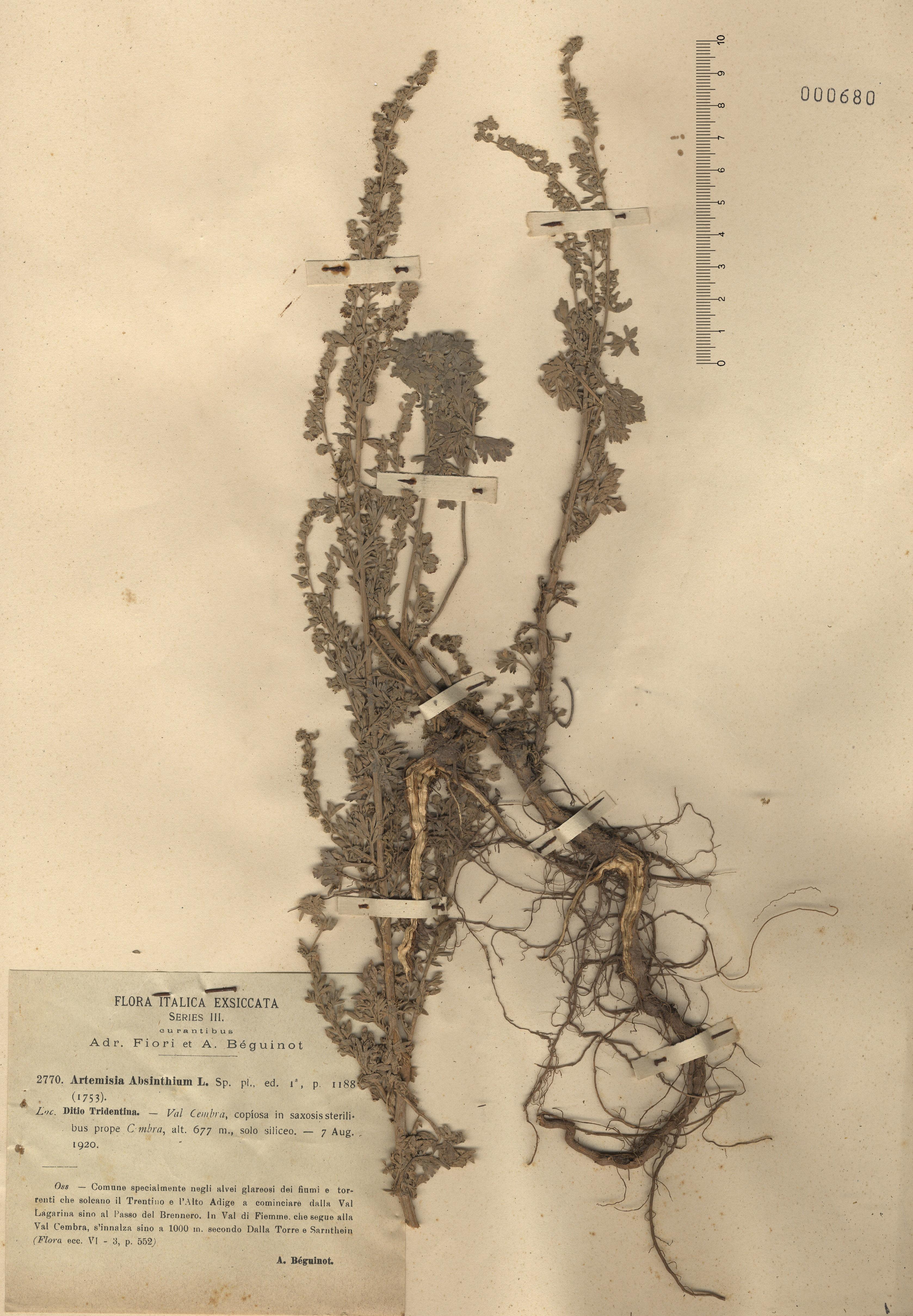 © Hortus Botanicus Catinensis - Herb. sheet 000680<br>