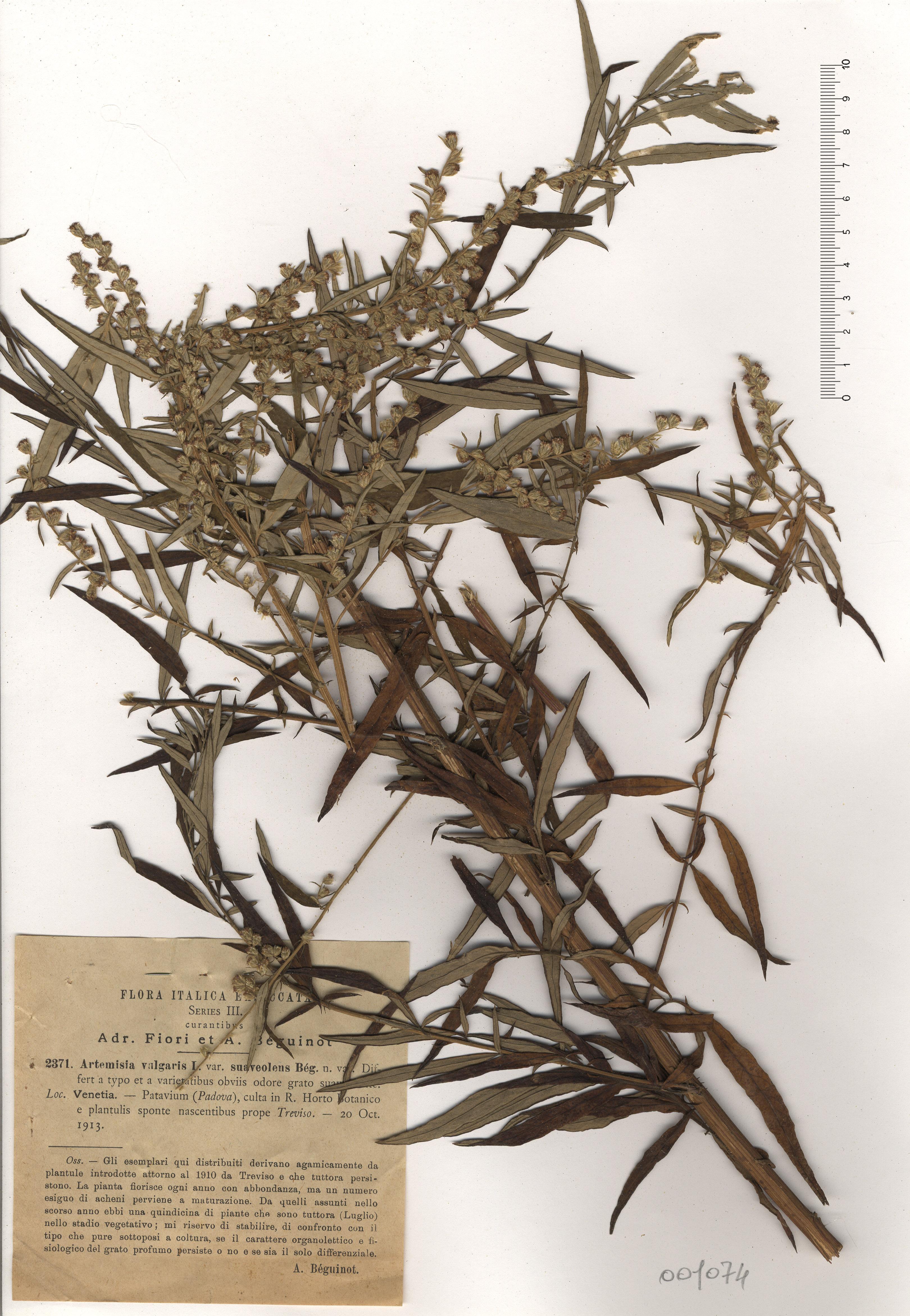 © Hortus Botanicus Catinensis - Herb. sheet 001074<br>