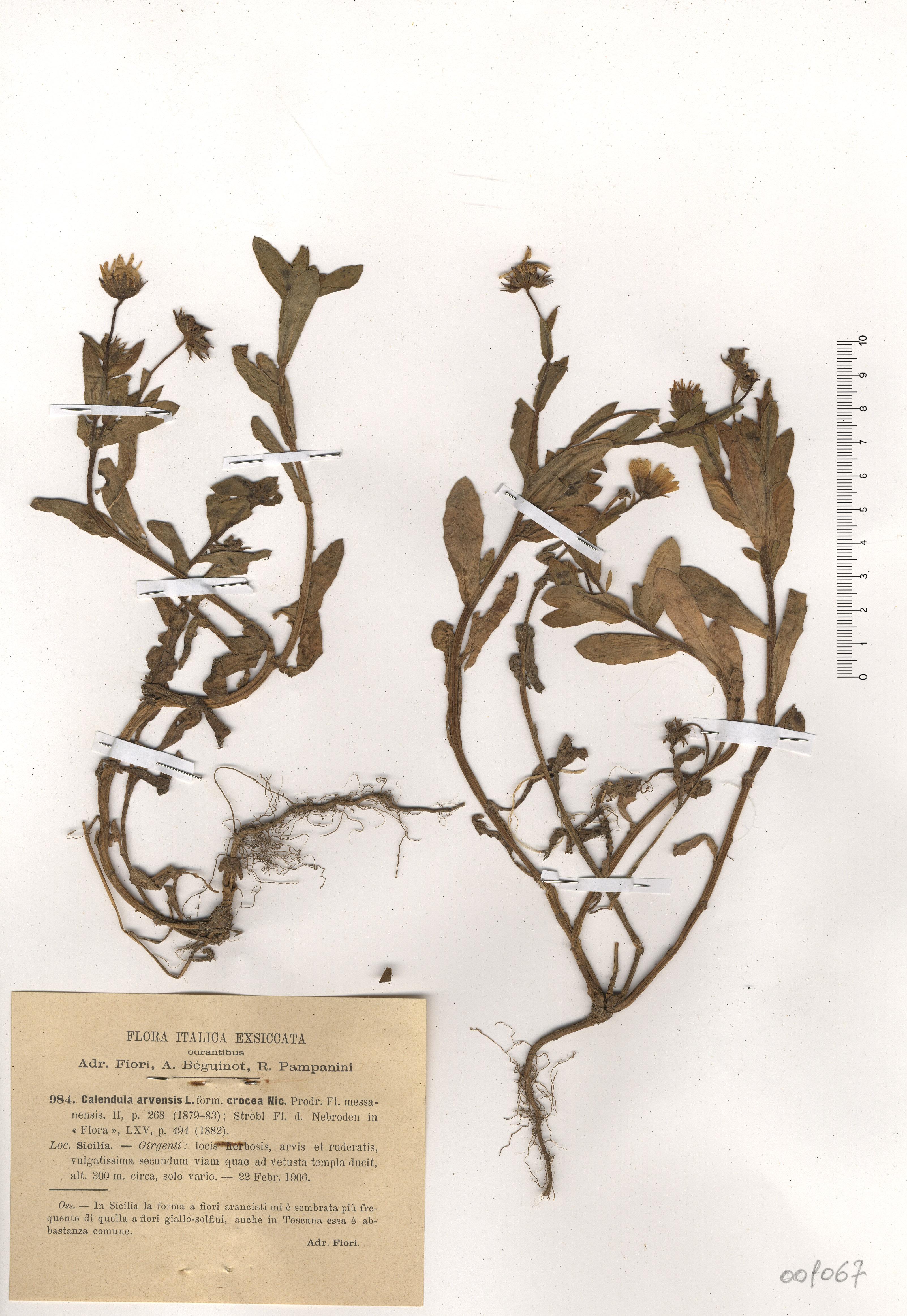 © Hortus Botanicus Catinensis - Herb. sheet 001067<br>