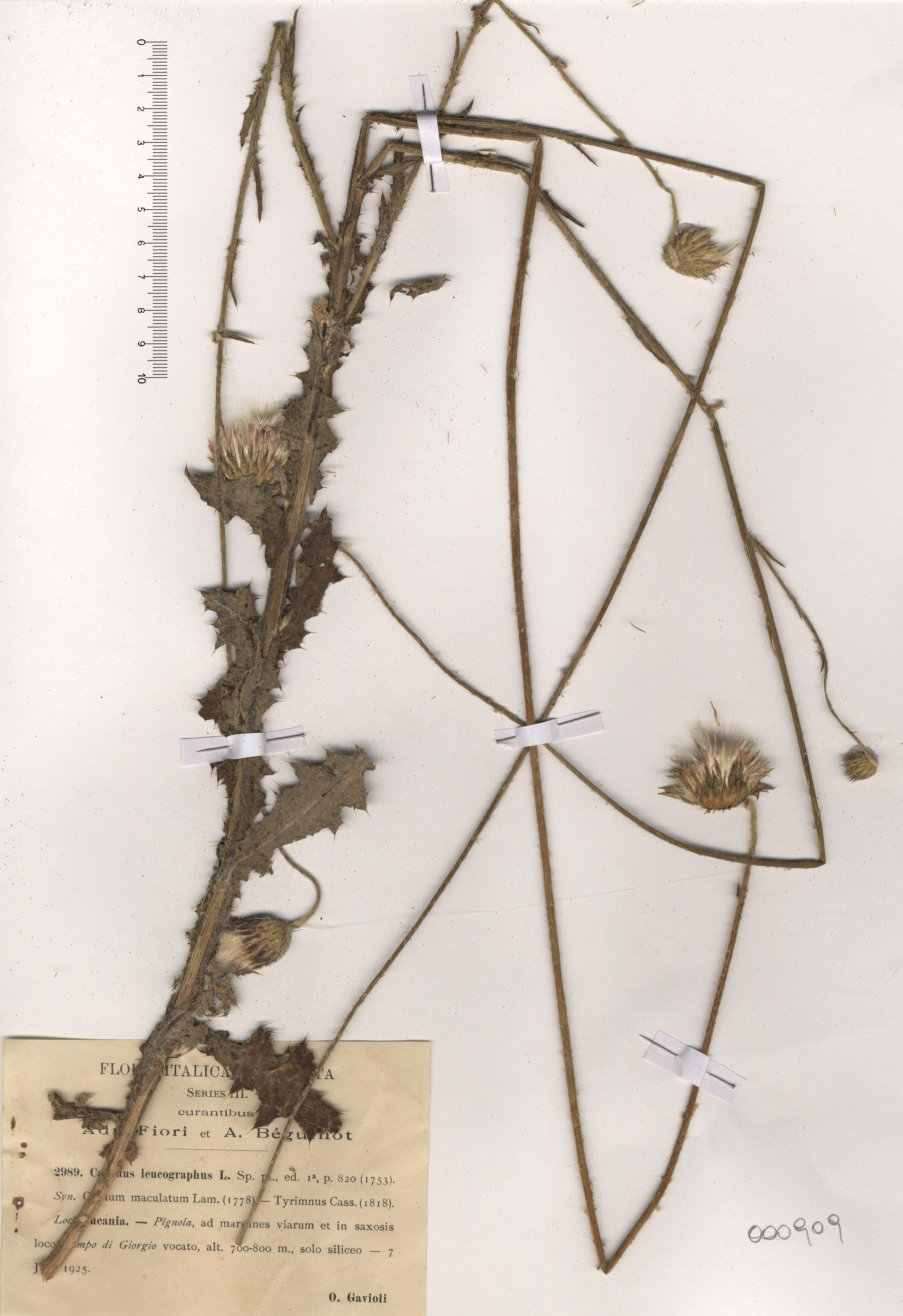 © Hortus Botanicus Catinensis - Herb. sheet 000909<br>