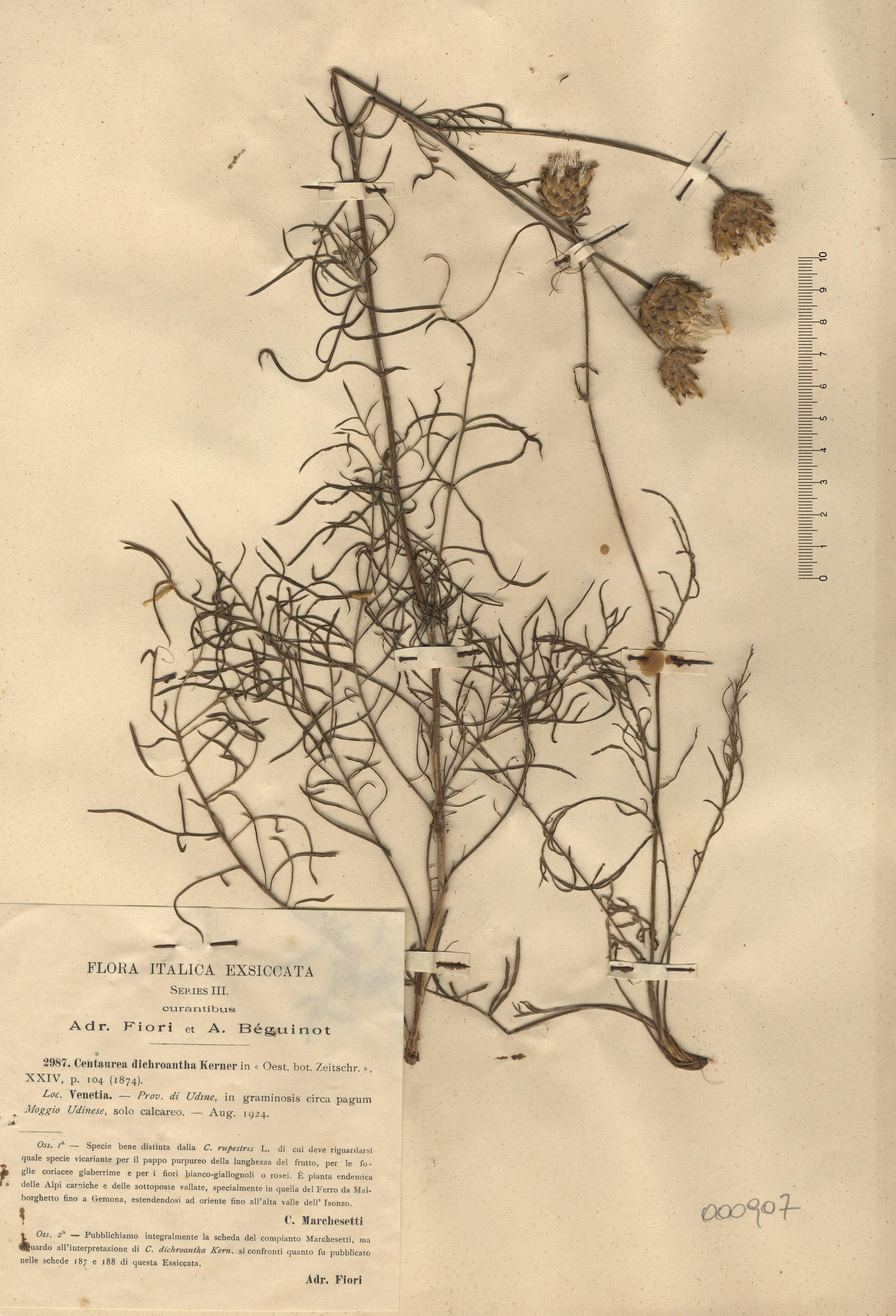© Hortus Botanicus Catinensis - Herb. sheet 000907<br>