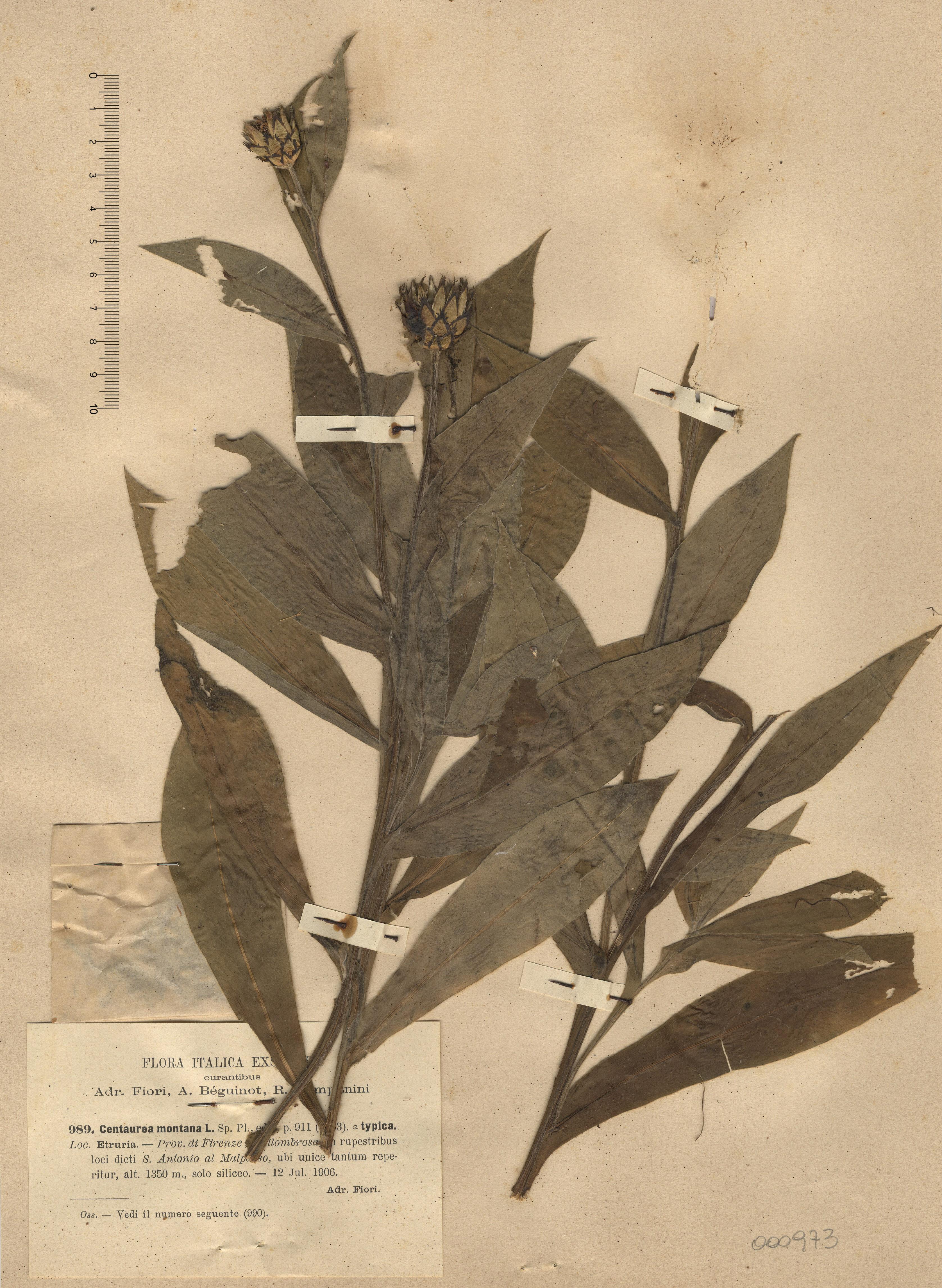 © Hortus Botanicus Catinensis - Herb. sheet 000973<br>