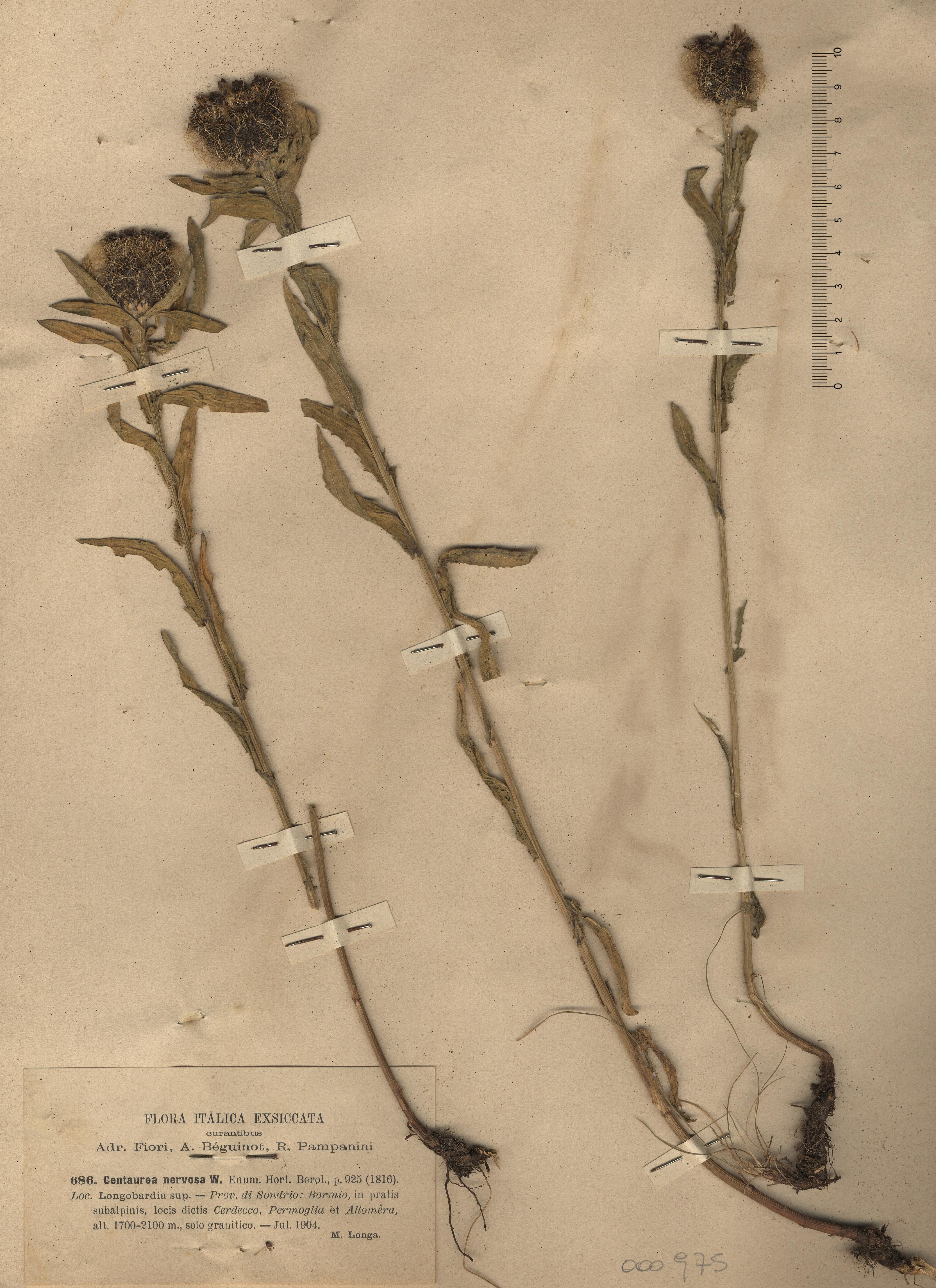 © Hortus Botanicus Catinensis - Herb. sheet 000975<br>