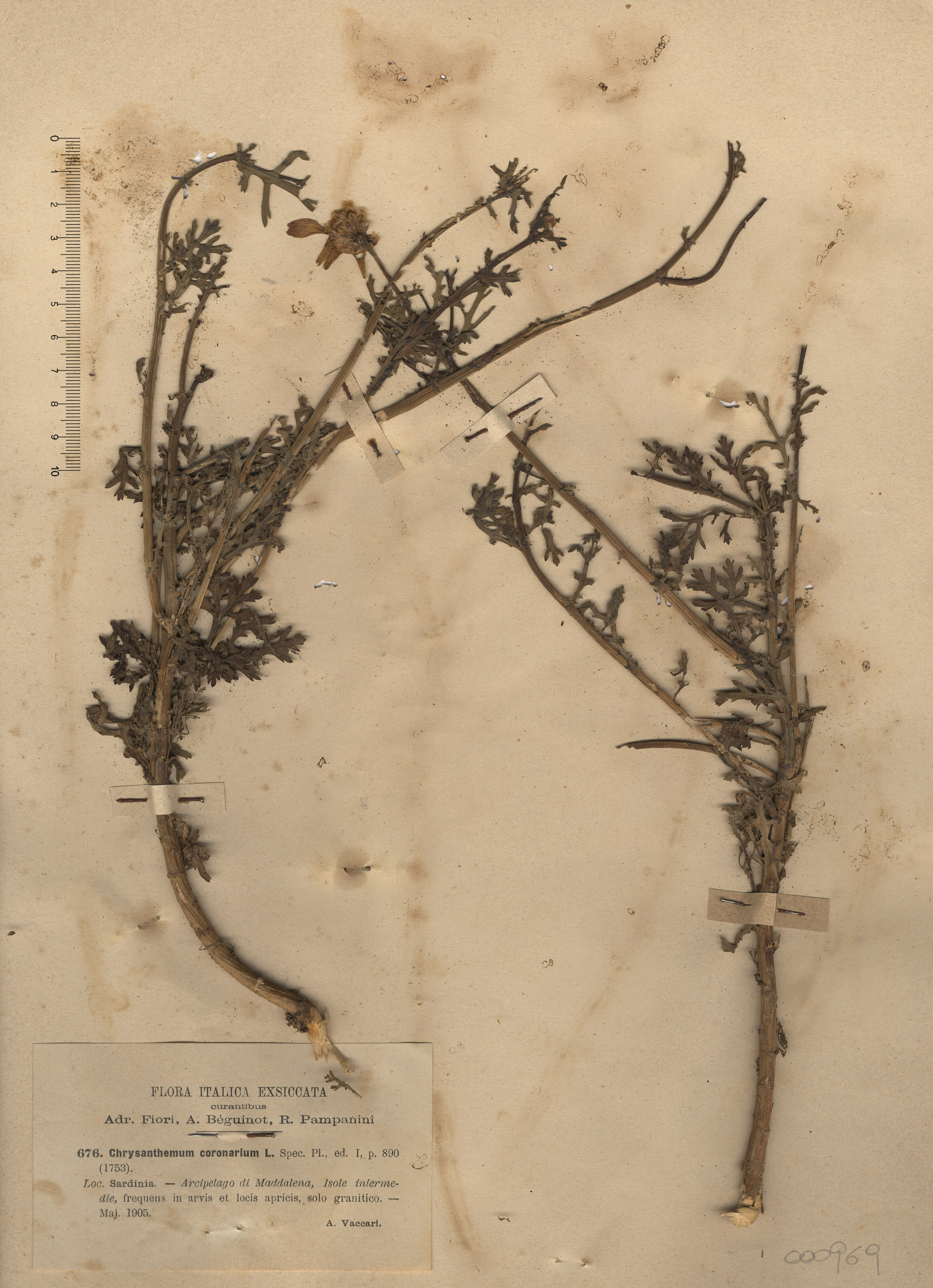 © Hortus Botanicus Catinensis - Herb. sheet 000969<br>