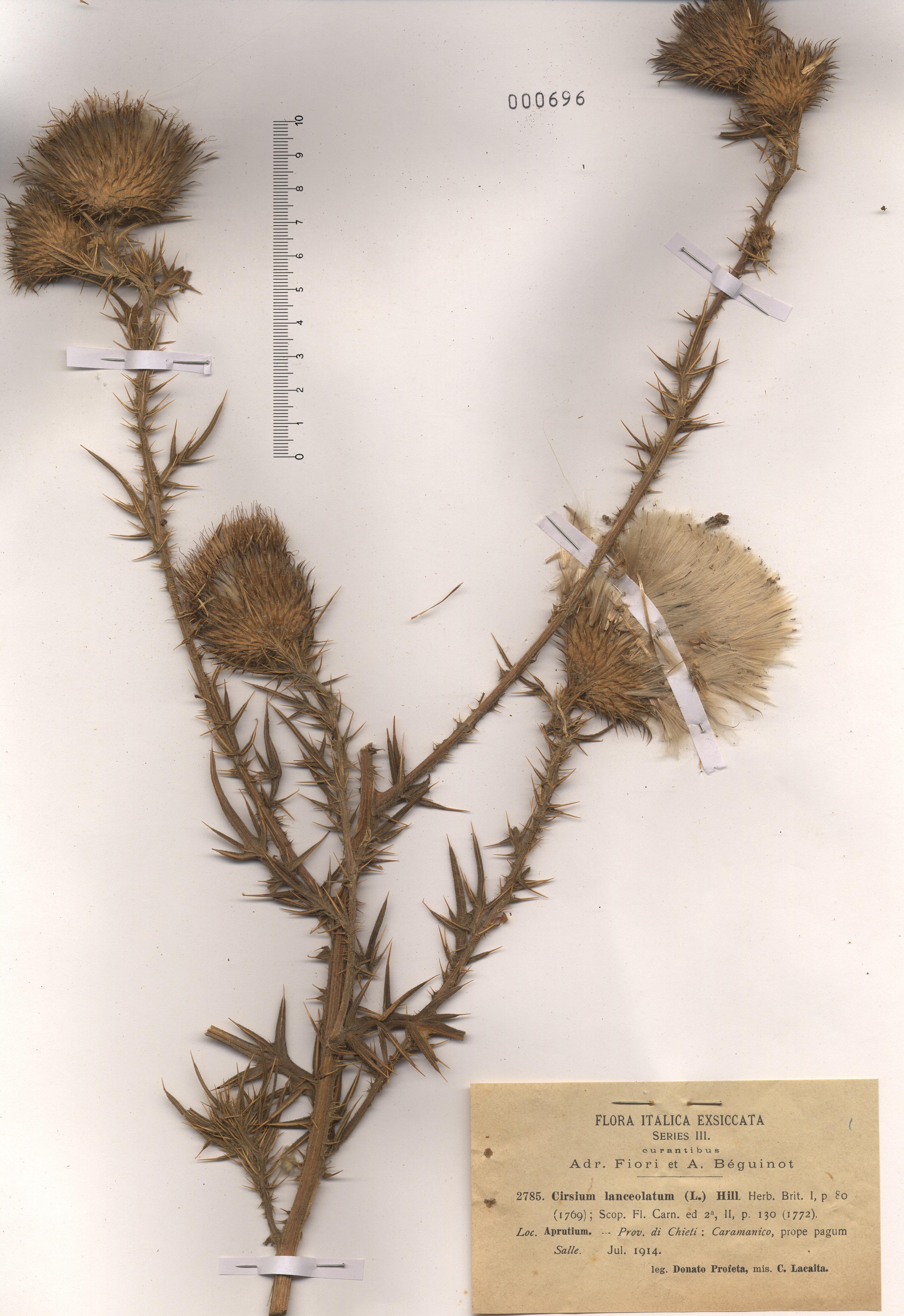 © Hortus Botanicus Catinensis - Herb. sheet 000696<br>