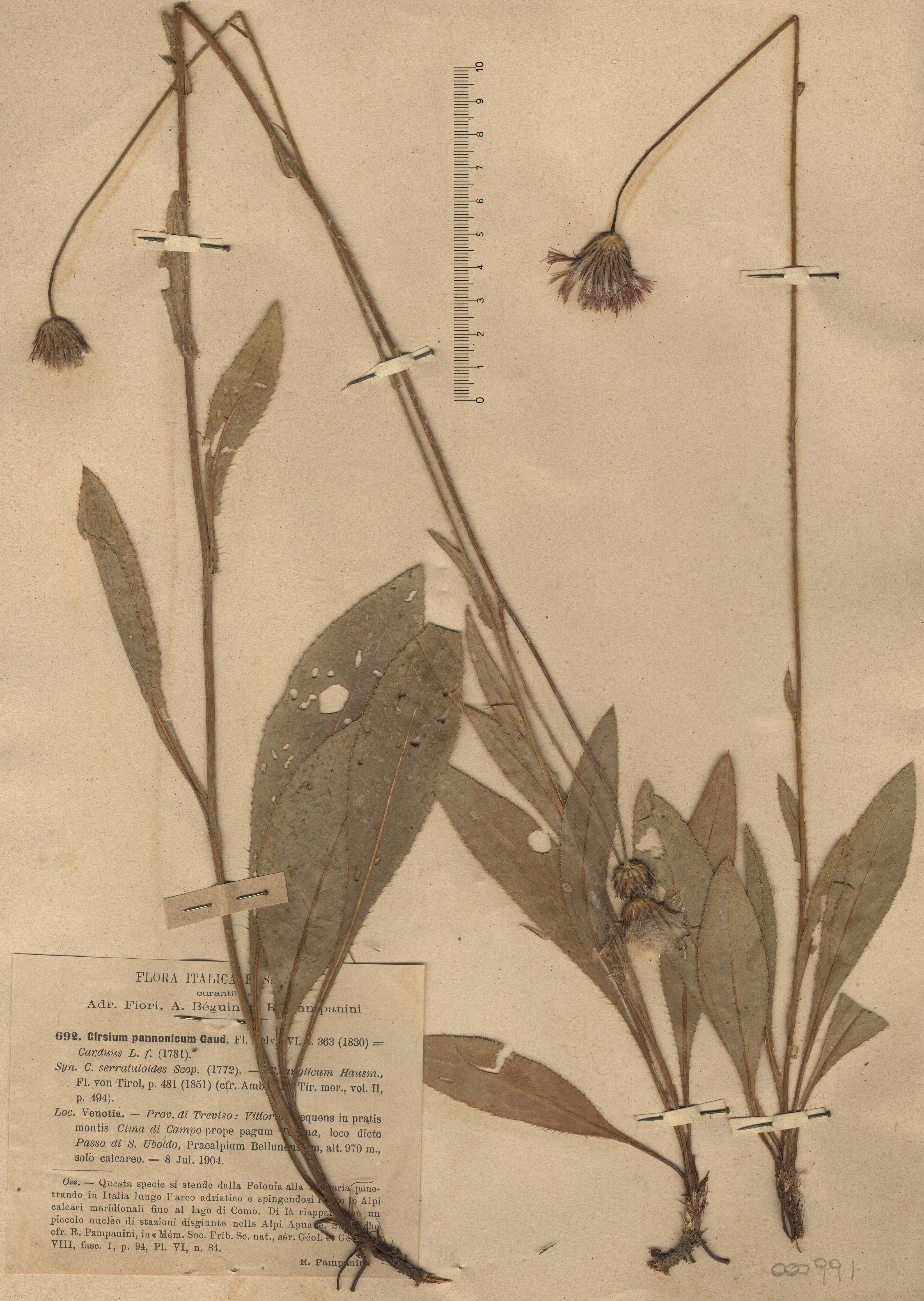 © Hortus Botanicus Catinensis - Herb. sheet 000991<br>