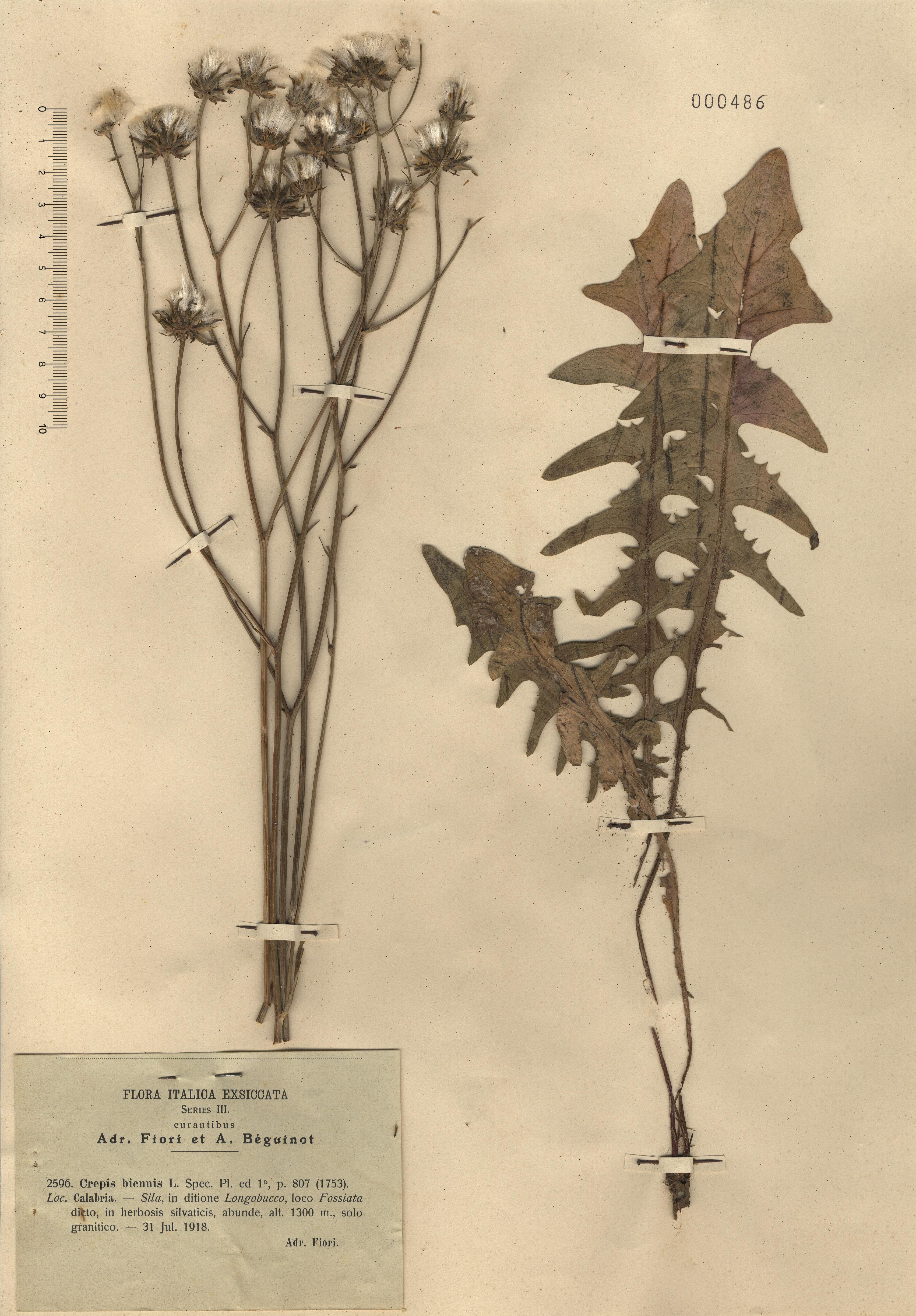 © Hortus Botanicus Catinensis - Herb. sheet 000486<br>