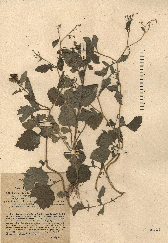 © Hortus Botanicus Catinensis - Herb. sheet 000239<br>