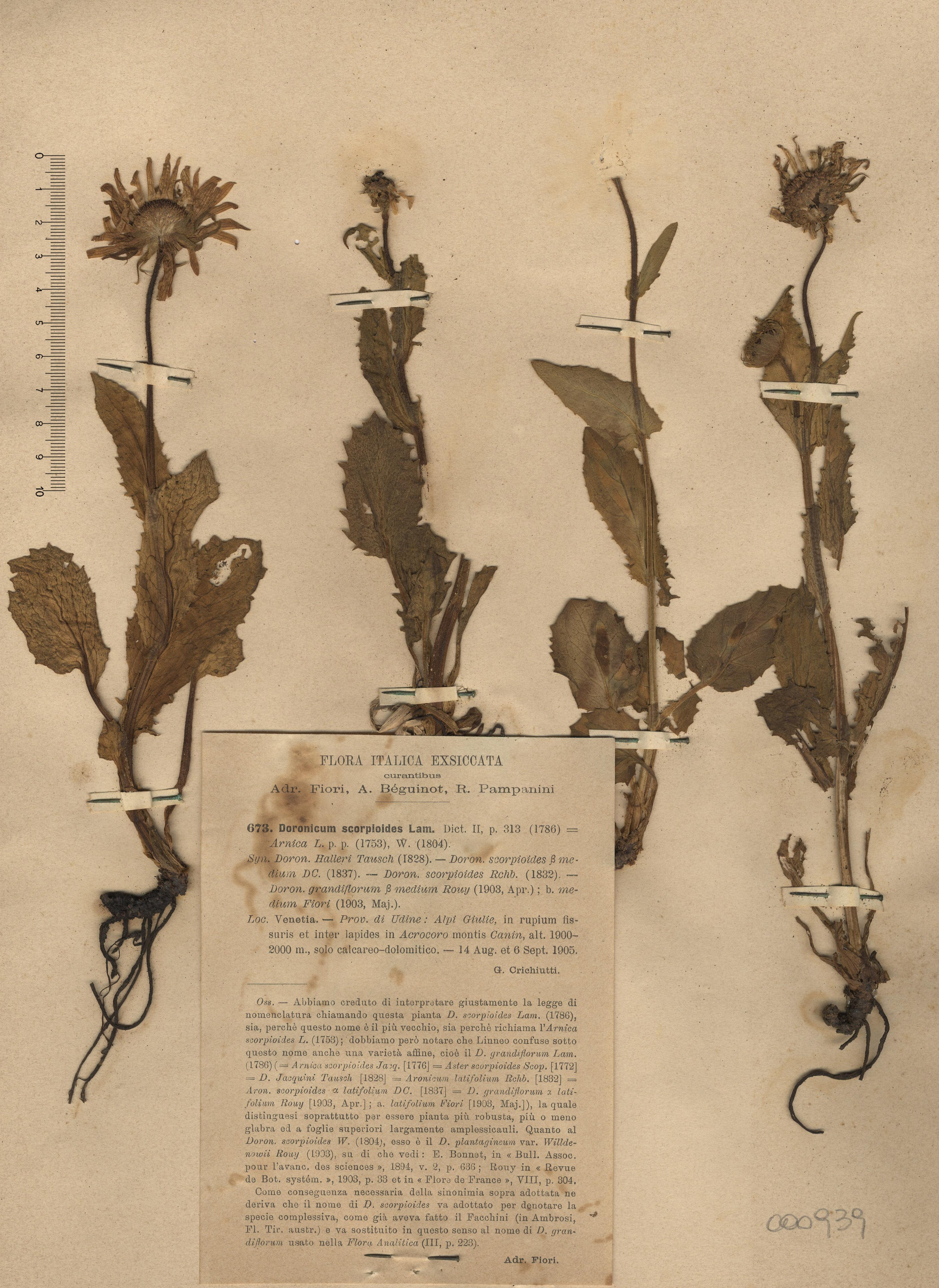 © Hortus Botanicus Catinensis - Herb. sheet 000939<br>