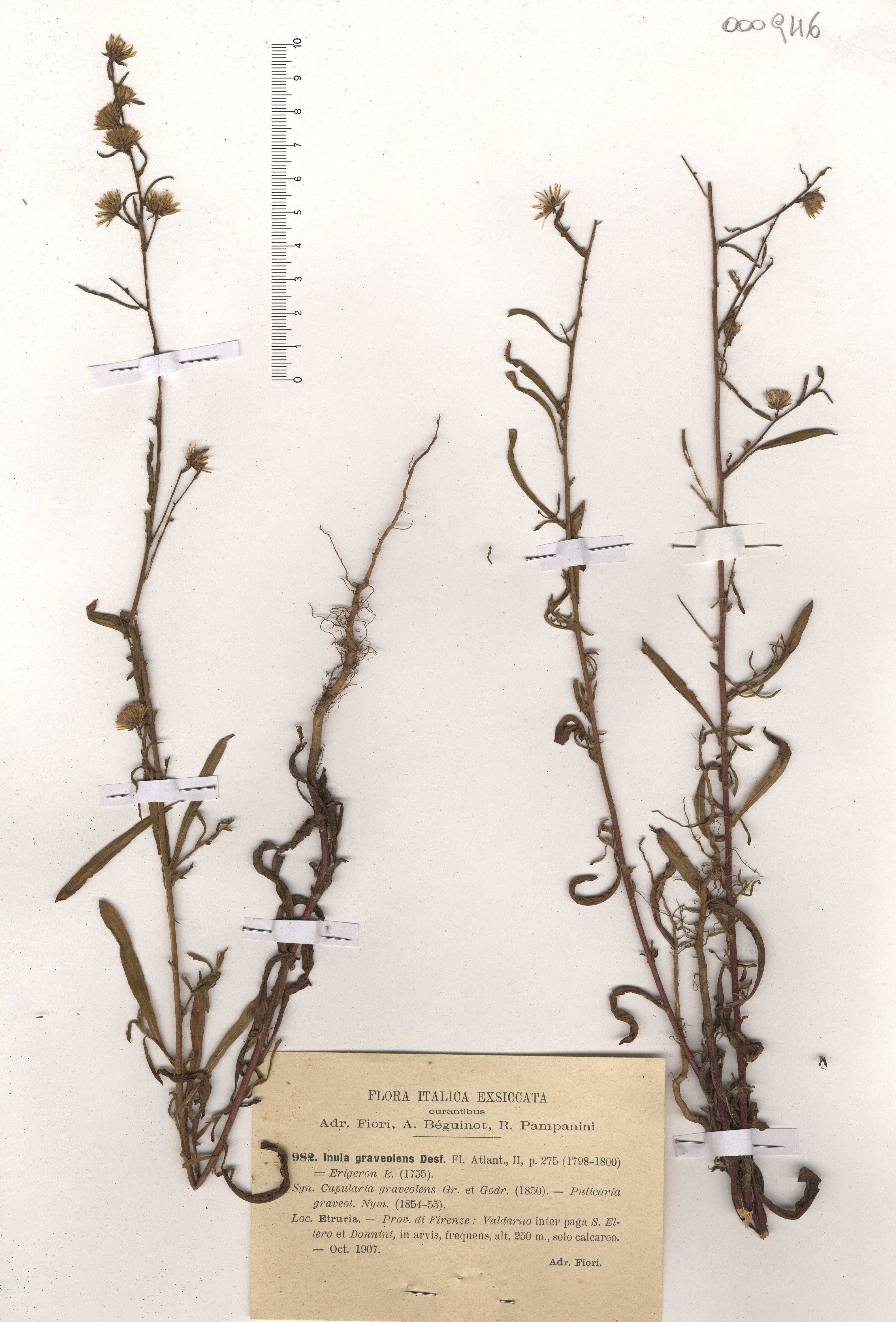 © Hortus Botanicus Catinensis - Herb. sheet 000946<br>