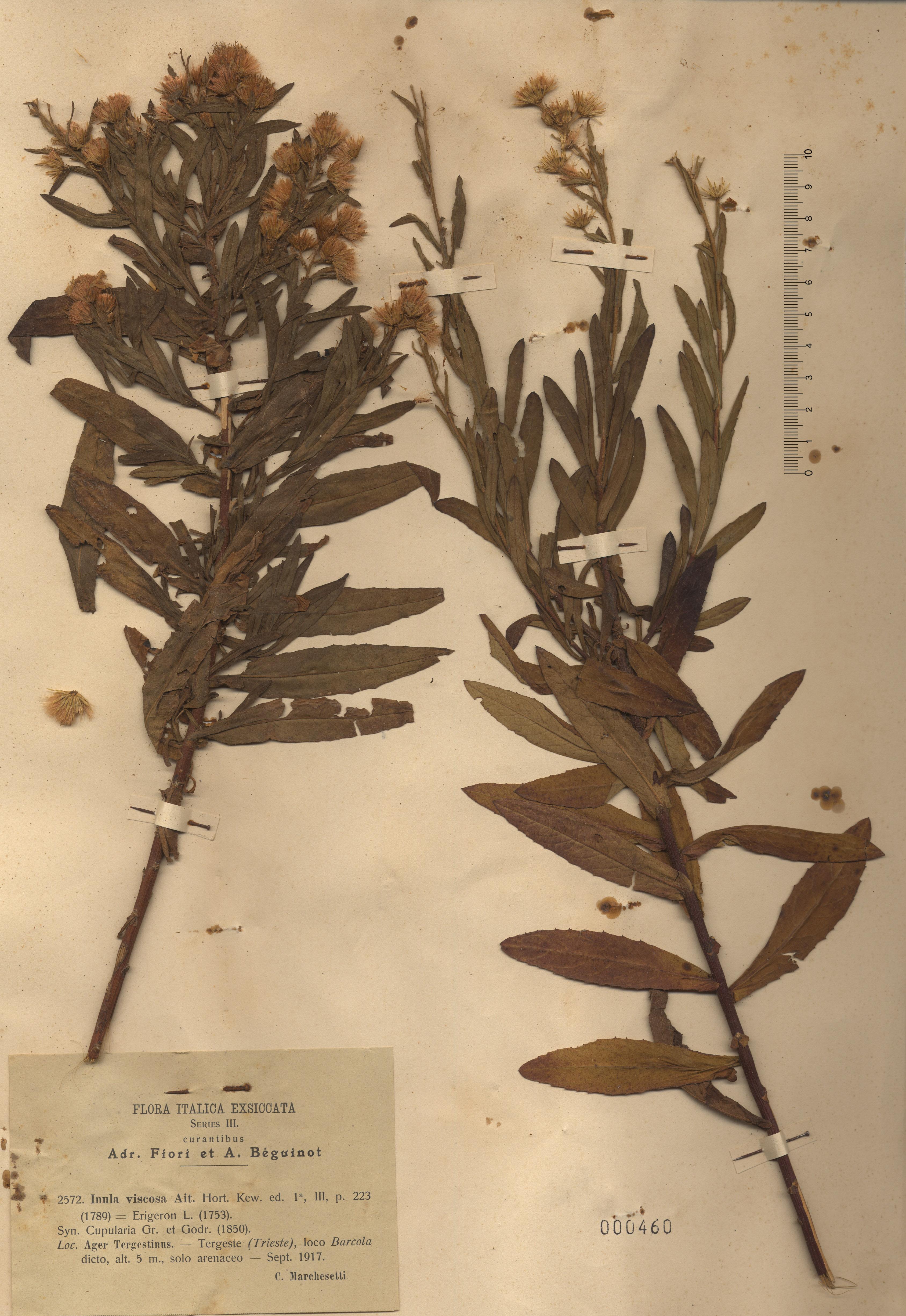 © Hortus Botanicus Catinensis - Herb. sheet 000460<br>