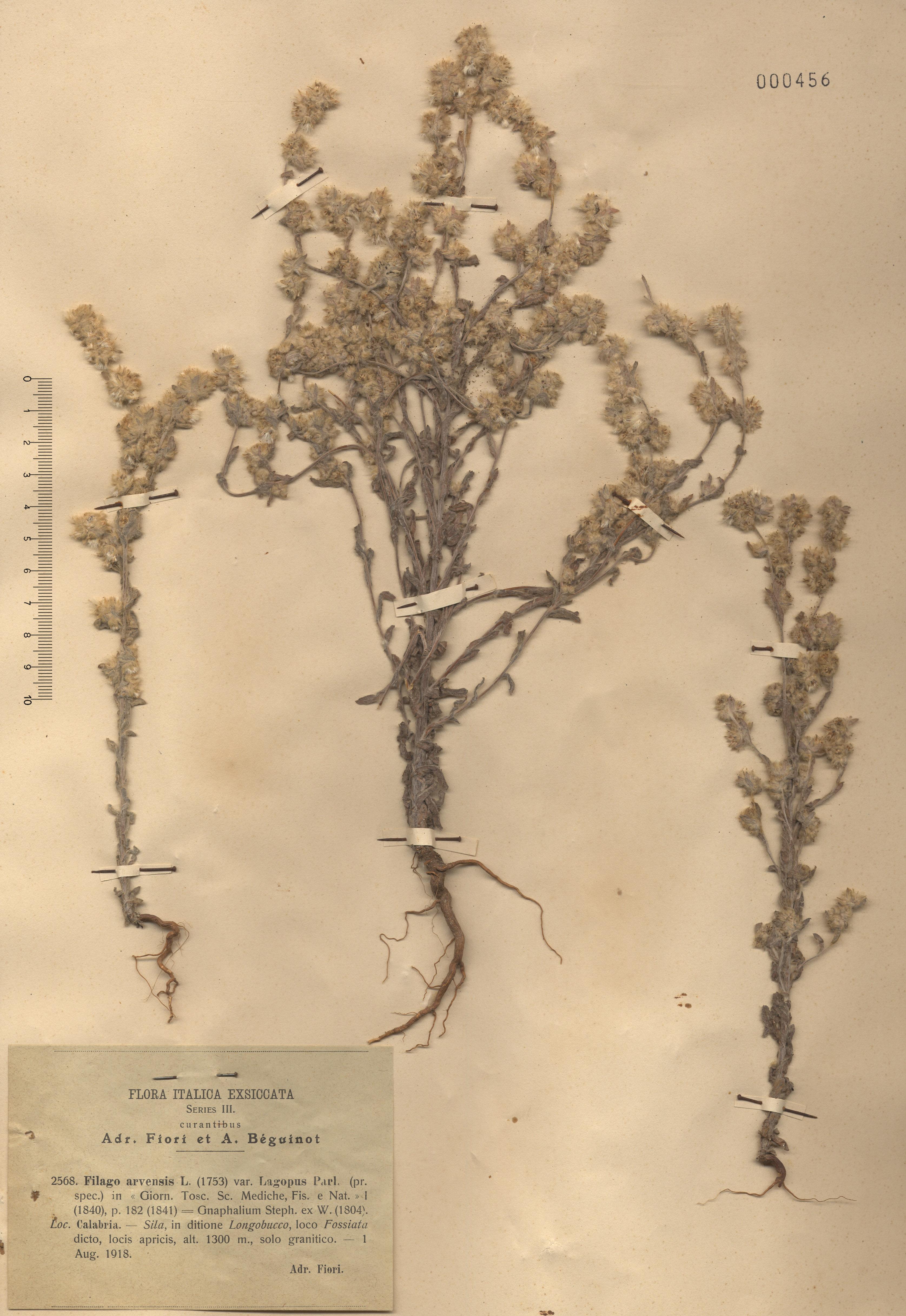© Hortus Botanicus Catinensis - Herb. sheet 000456<br>