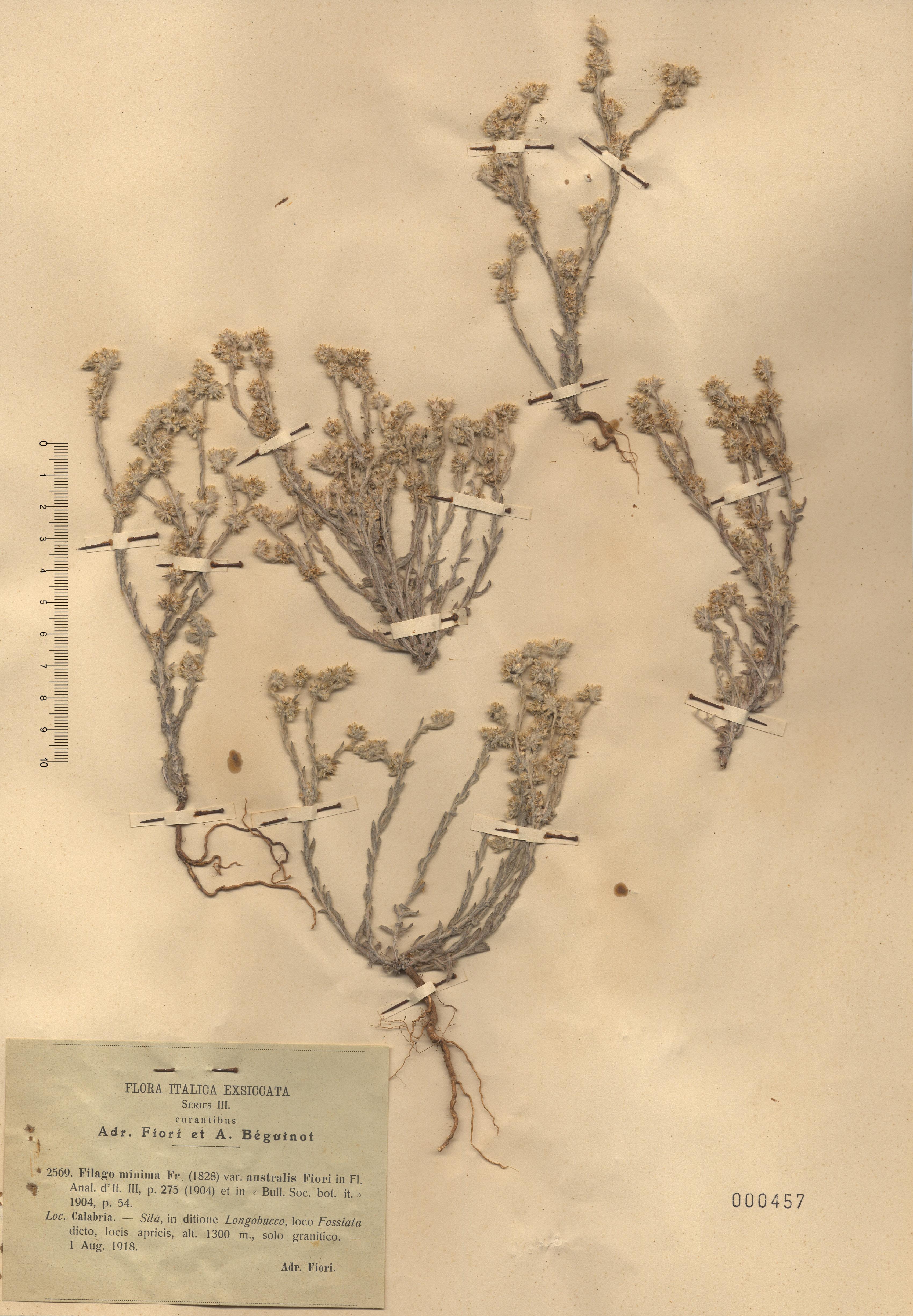 © Hortus Botanicus Catinensis - Herb. sheet 000457<br>