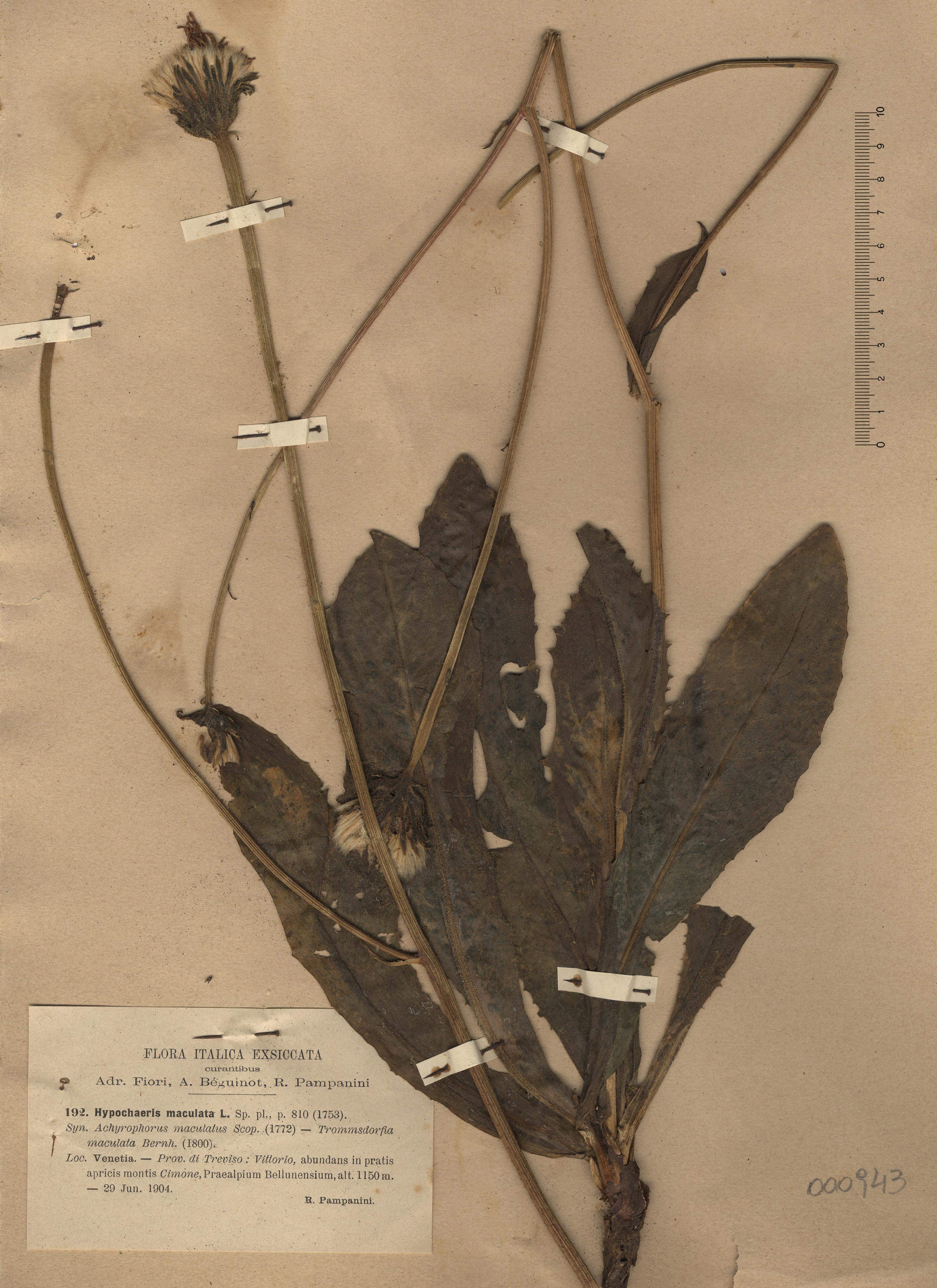 © Hortus Botanicus Catinensis - Herb. sheet 000943<br>