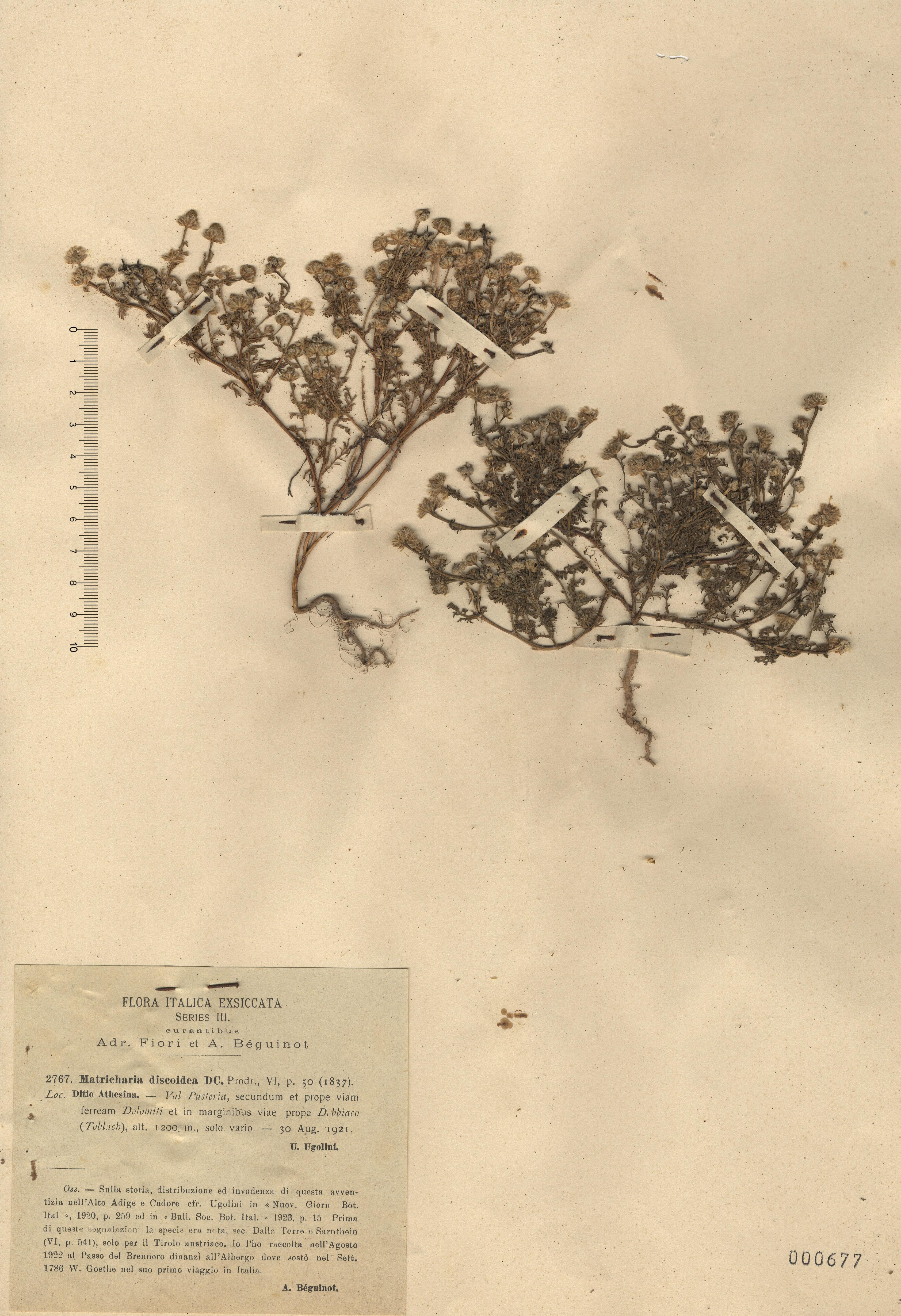 © Hortus Botanicus Catinensis - Herb. sheet 000677<br>
