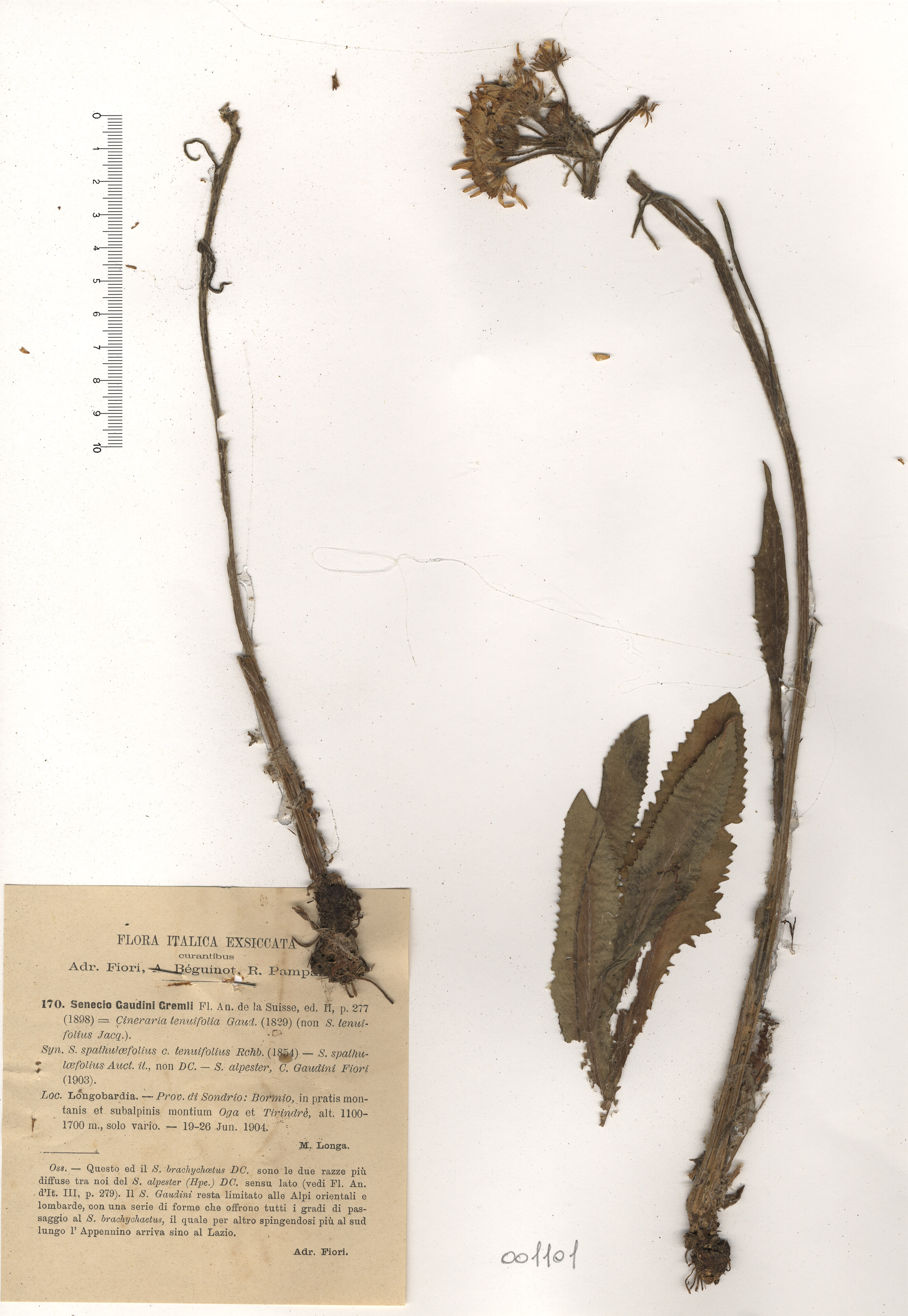© Hortus Botanicus Catinensis - Herb. sheet 001101<br>