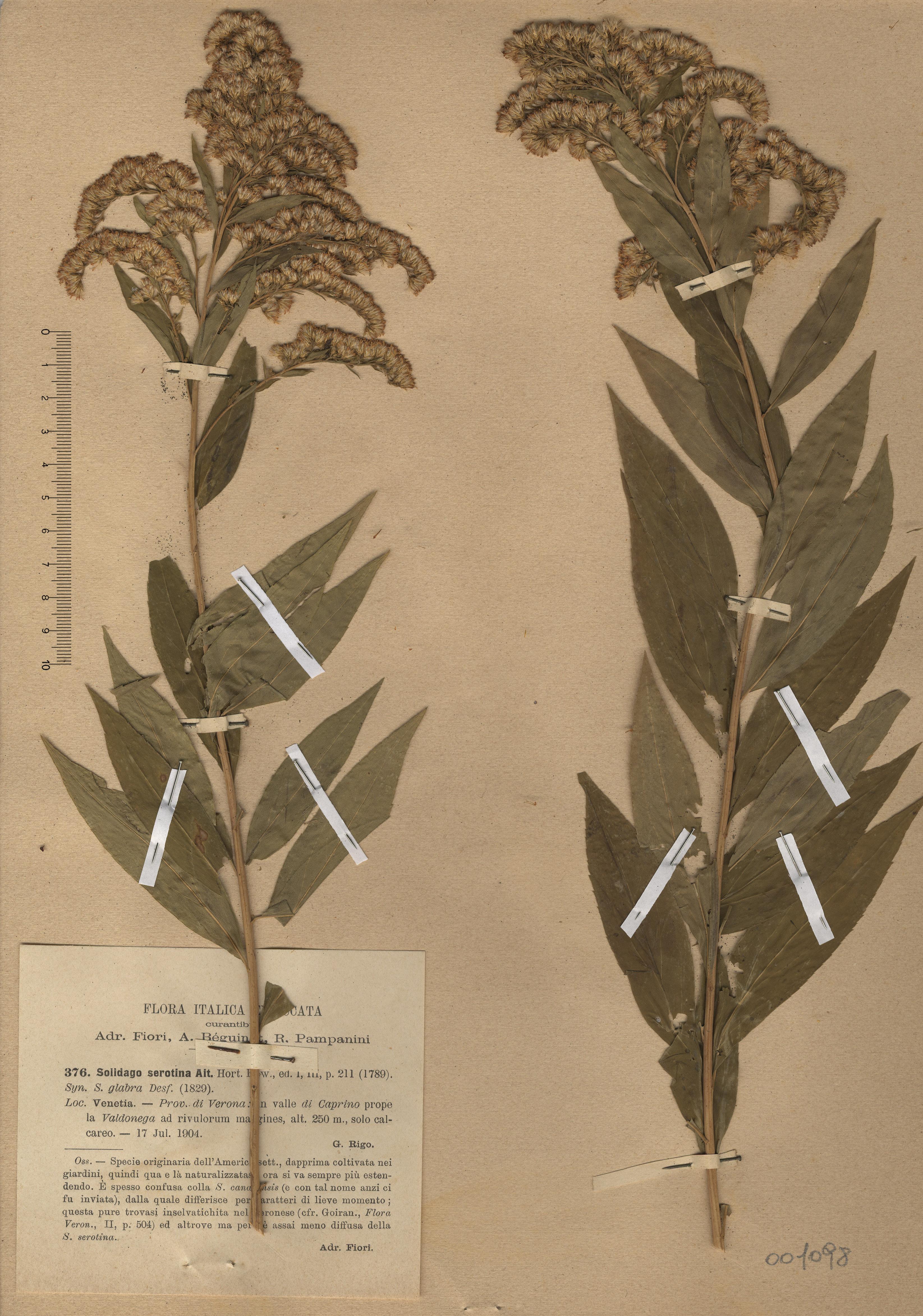 © Hortus Botanicus Catinensis - Herb. sheet 001098<br>