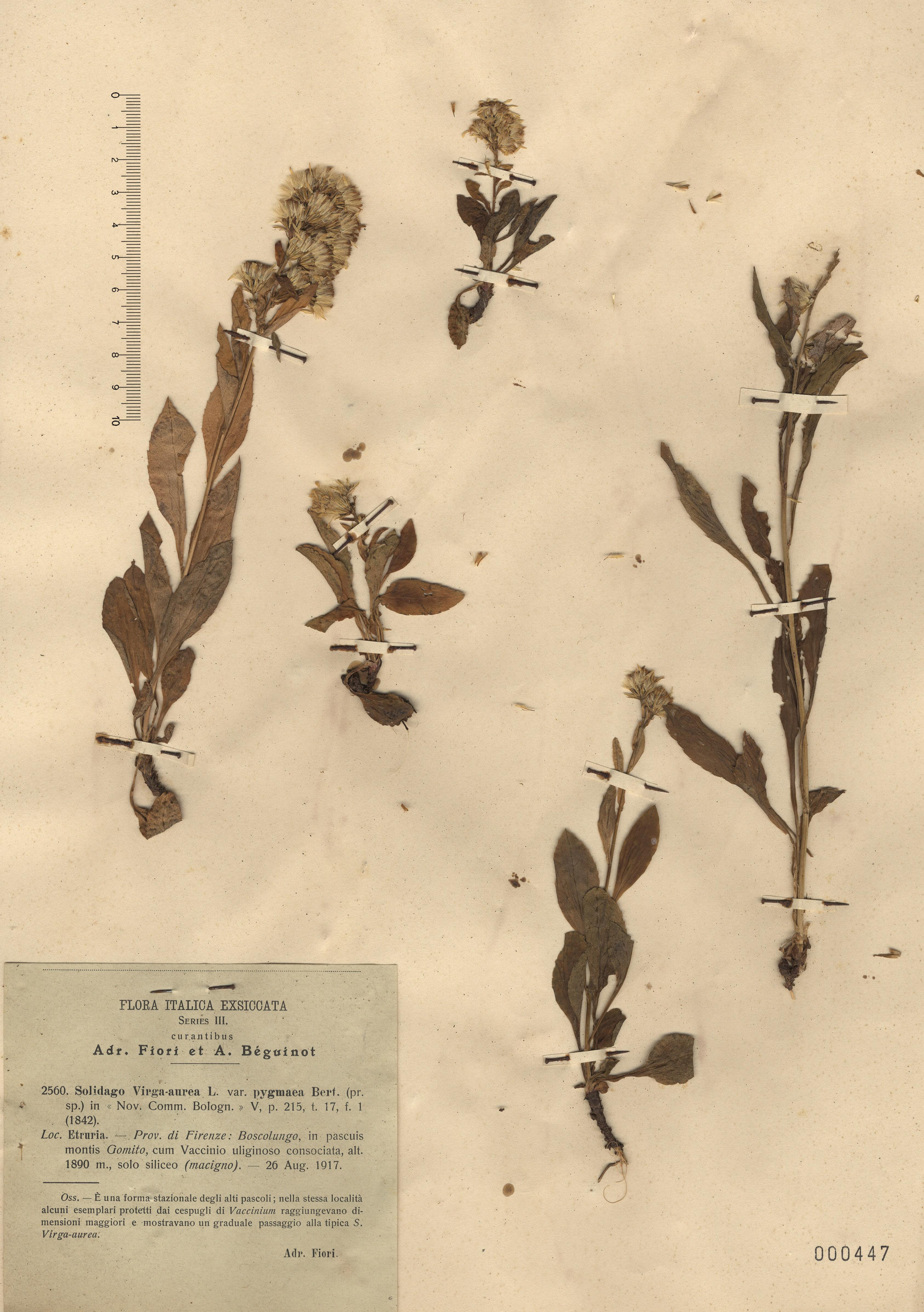 © Hortus Botanicus Catinensis - Herb. sheet 000447<br>
