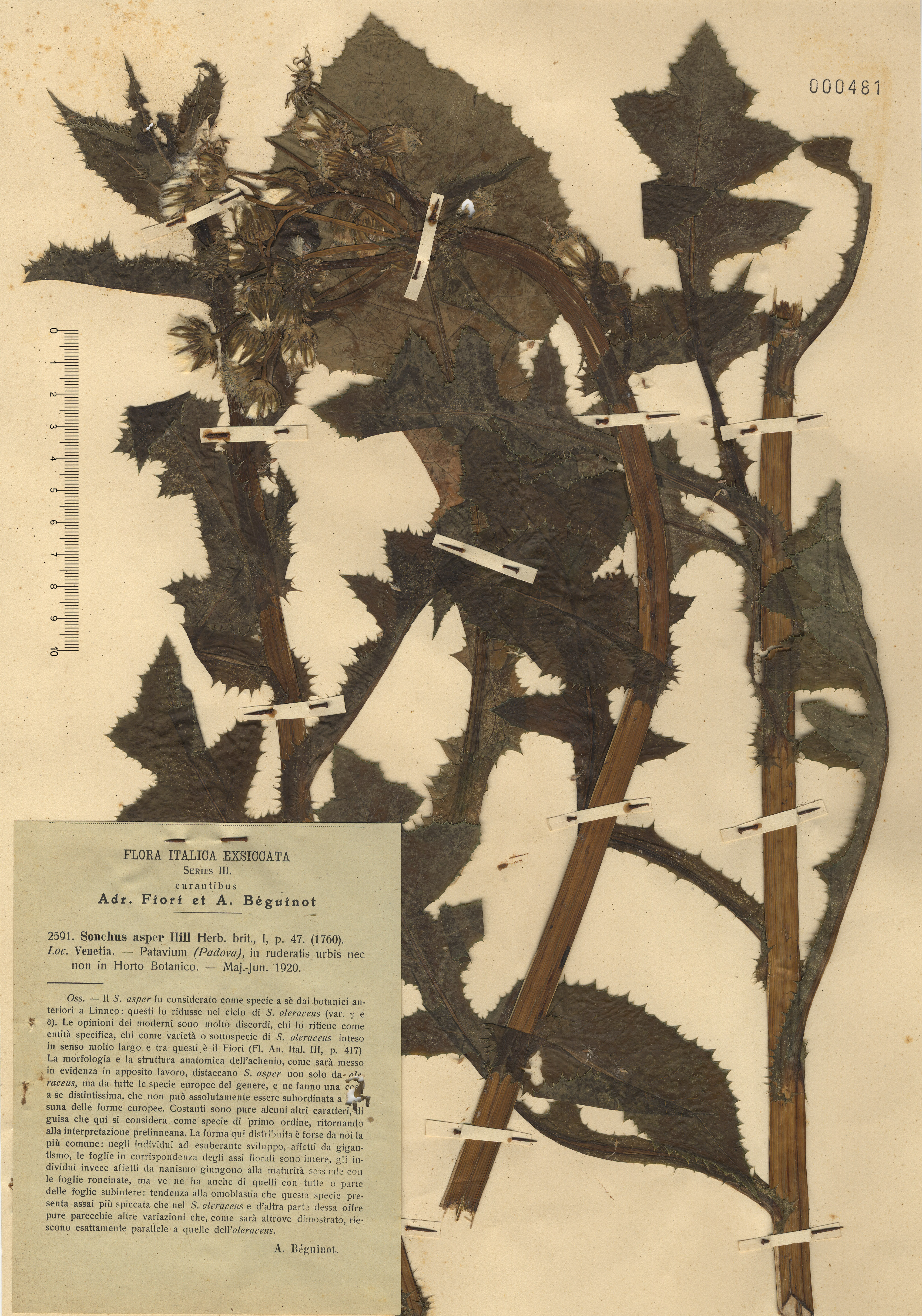 © Hortus Botanicus Catinensis - Herb. sheet 000481<br>