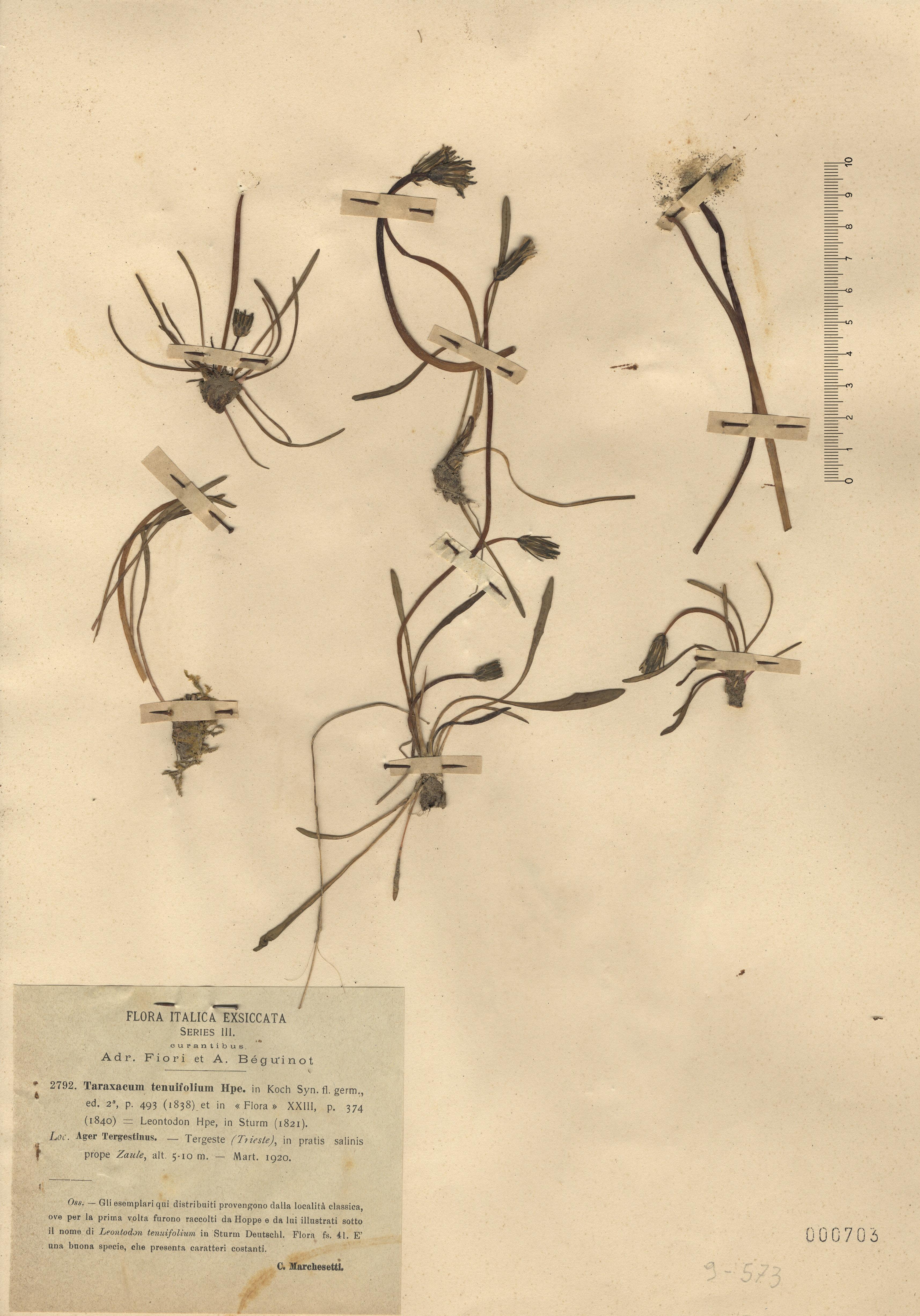 © Hortus Botanicus Catinensis - Herb. sheet 000703<br>