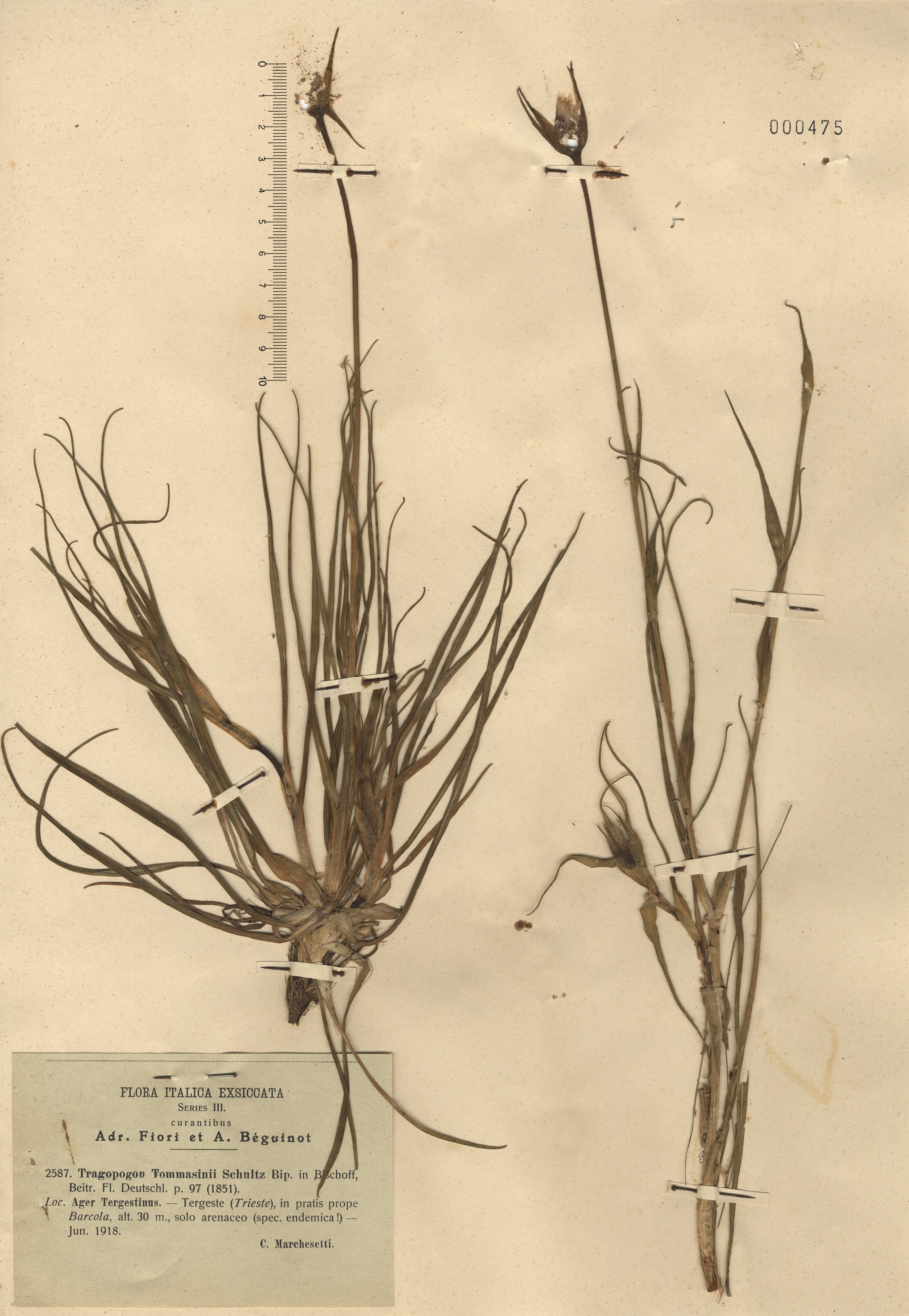 © Hortus Botanicus Catinensis - Herb. sheet 000475<br>