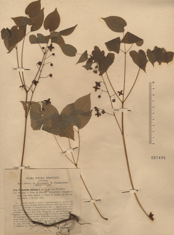 © Hortus Botanicus Catinensis - Herb. sheet 001495<br>