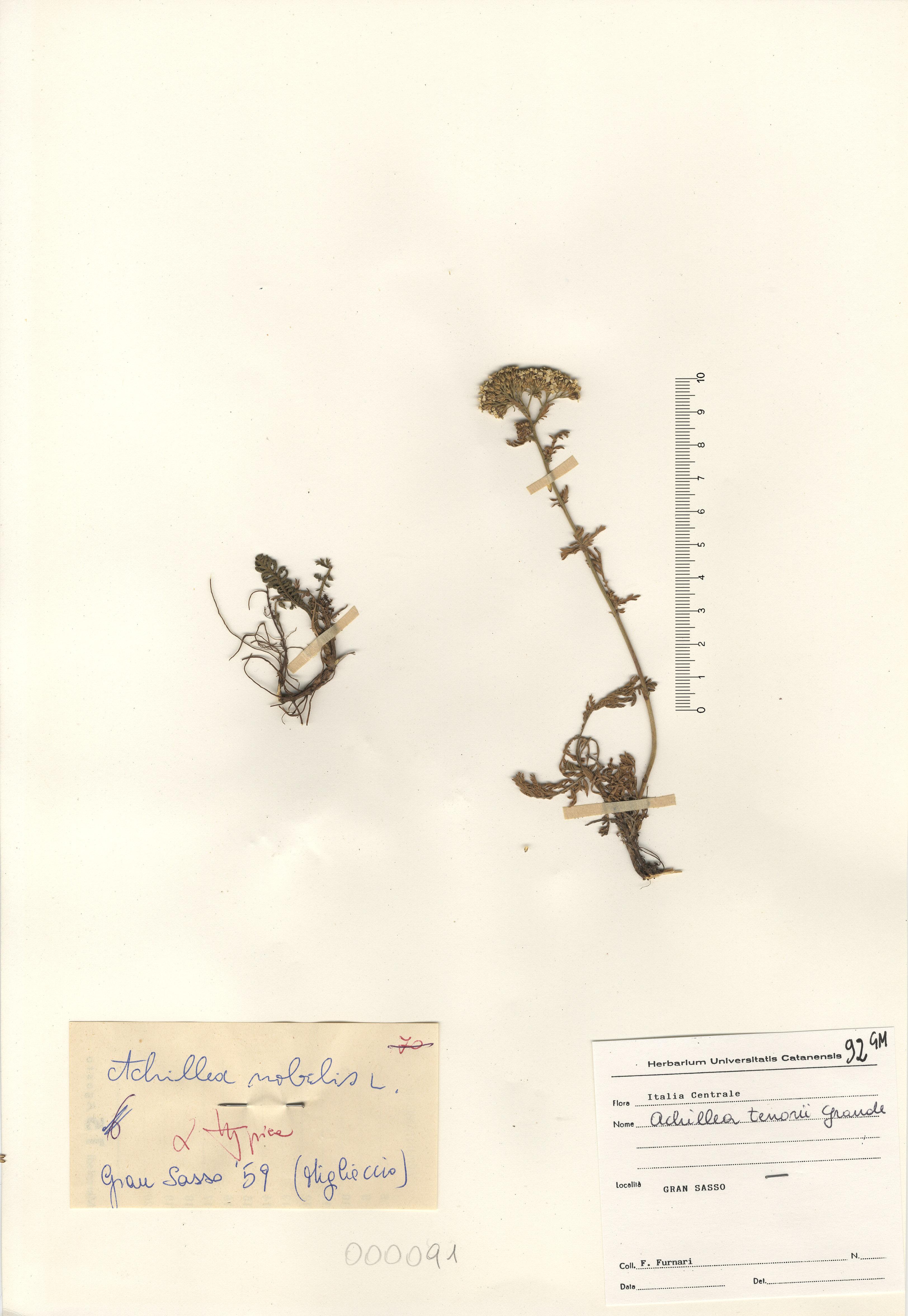 © Hortus Botanicus Catinensis - Herb. sheet 000091<br>