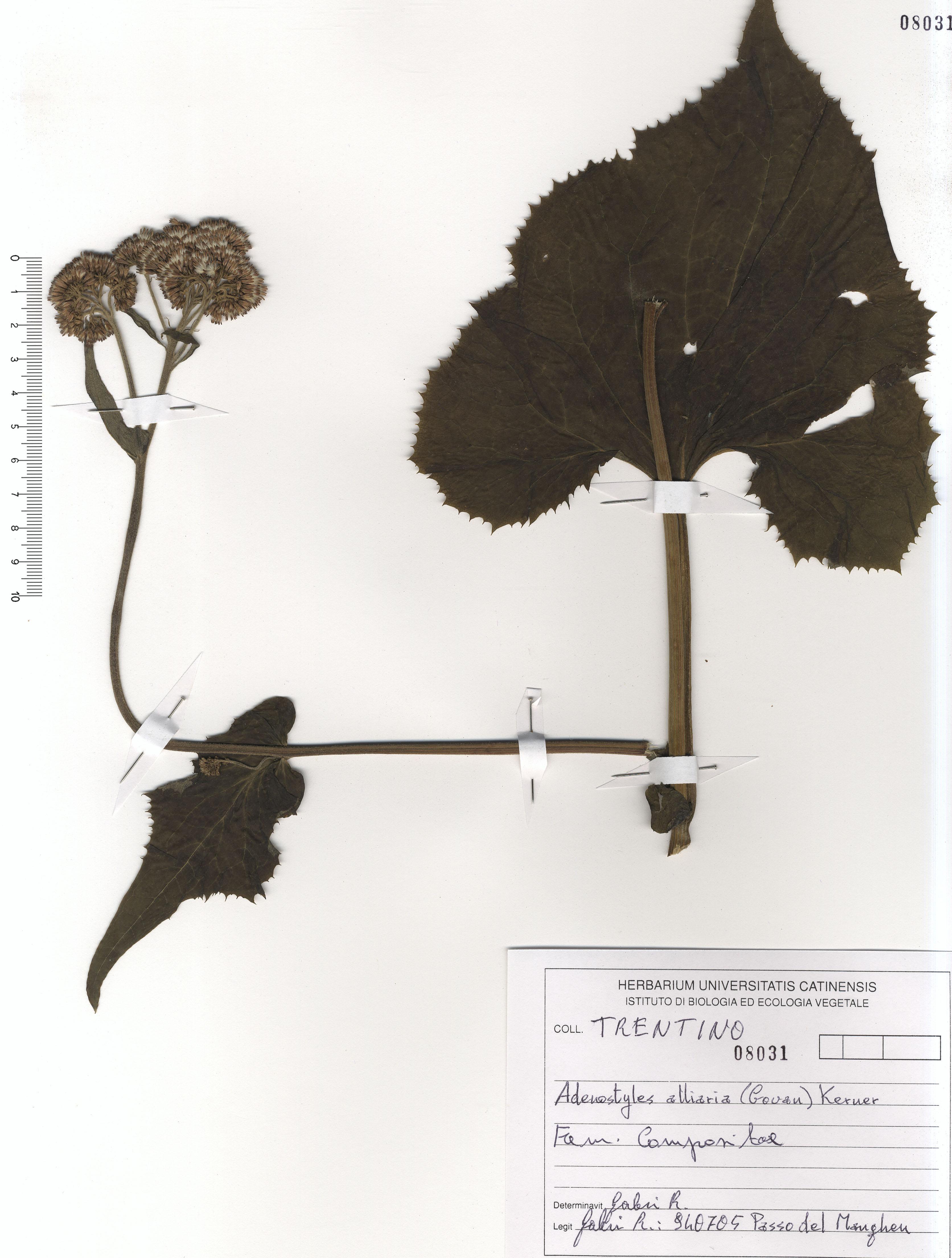 © Hortus Botanicus Catinensis - Herb. sheet 108031<br>