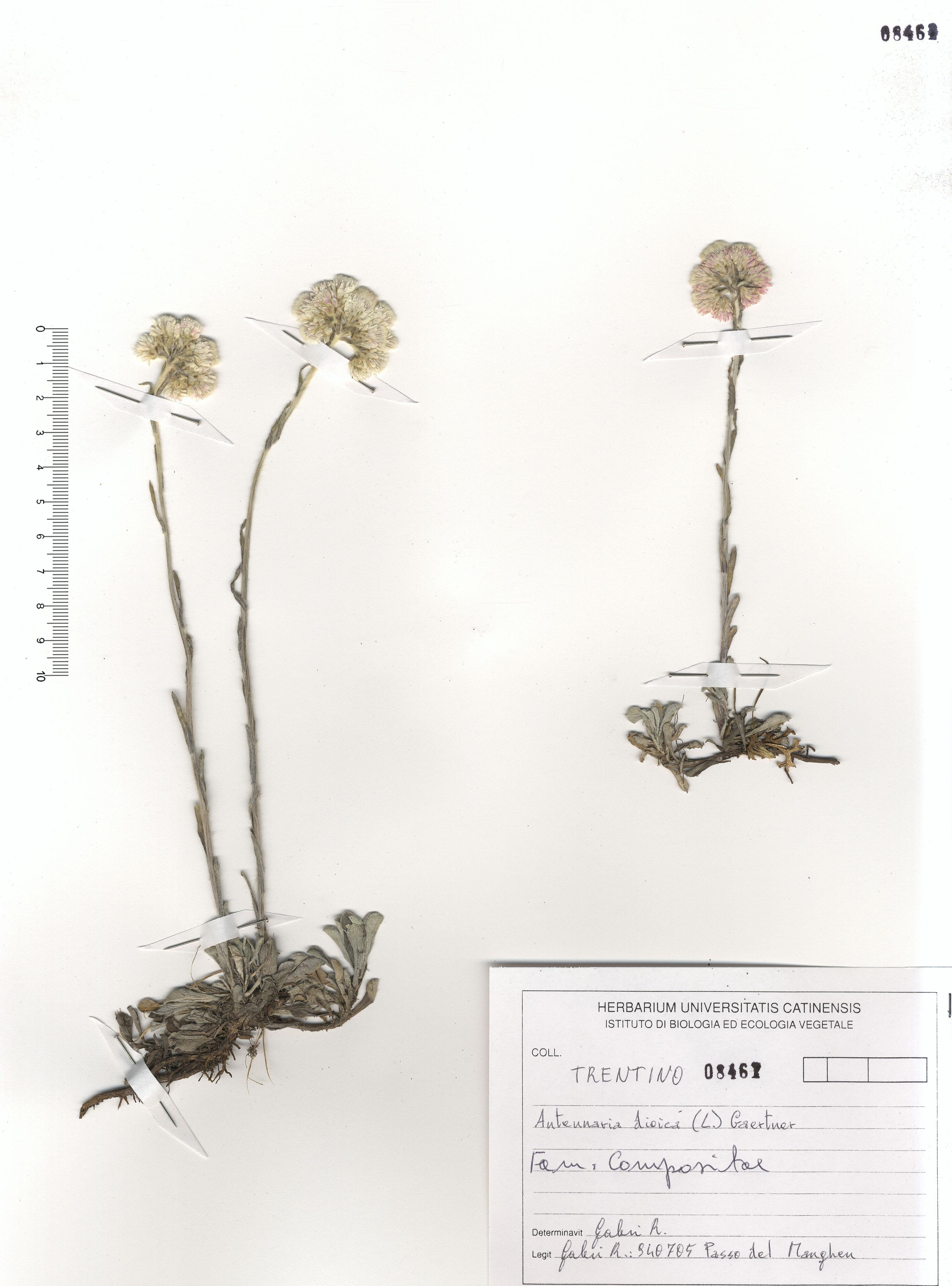 © Hortus Botanicus Catinensis - Herb. sheet 108461<br>