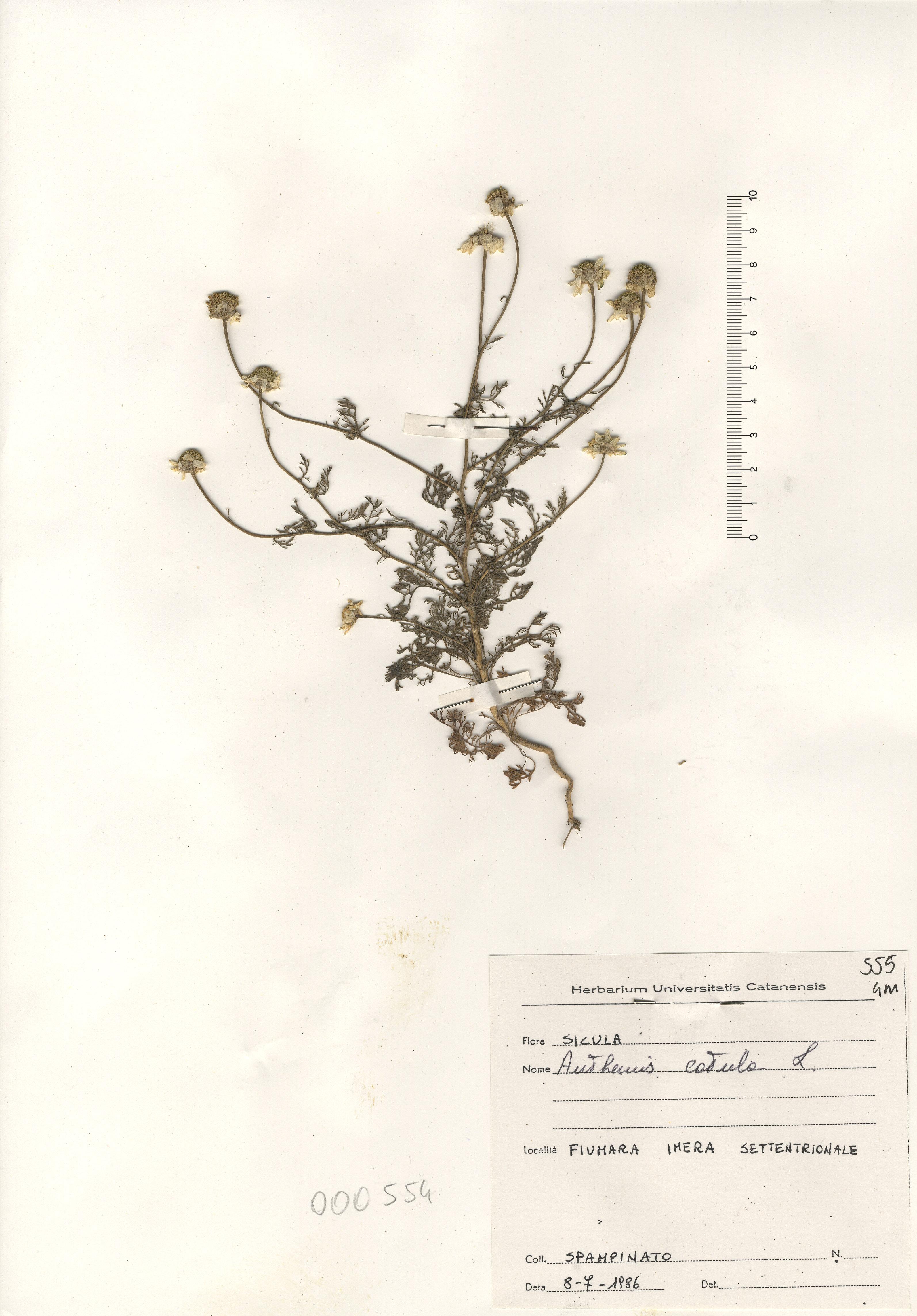 © Hortus Botanicus Catinensis - Herb. sheet 000554<br>