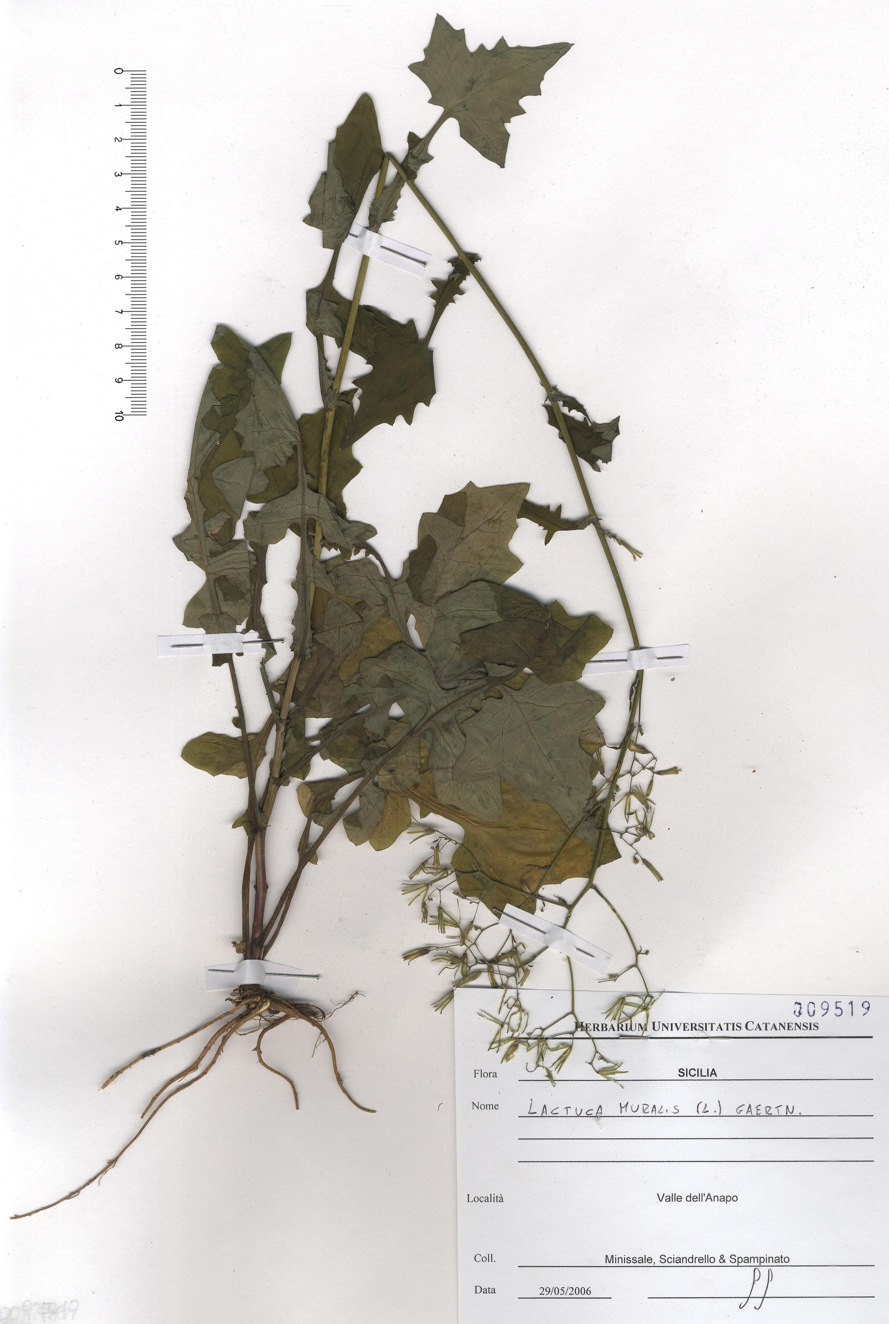 © Hortus Botanicus Catinensis - Herb. sheet 009519<br>
