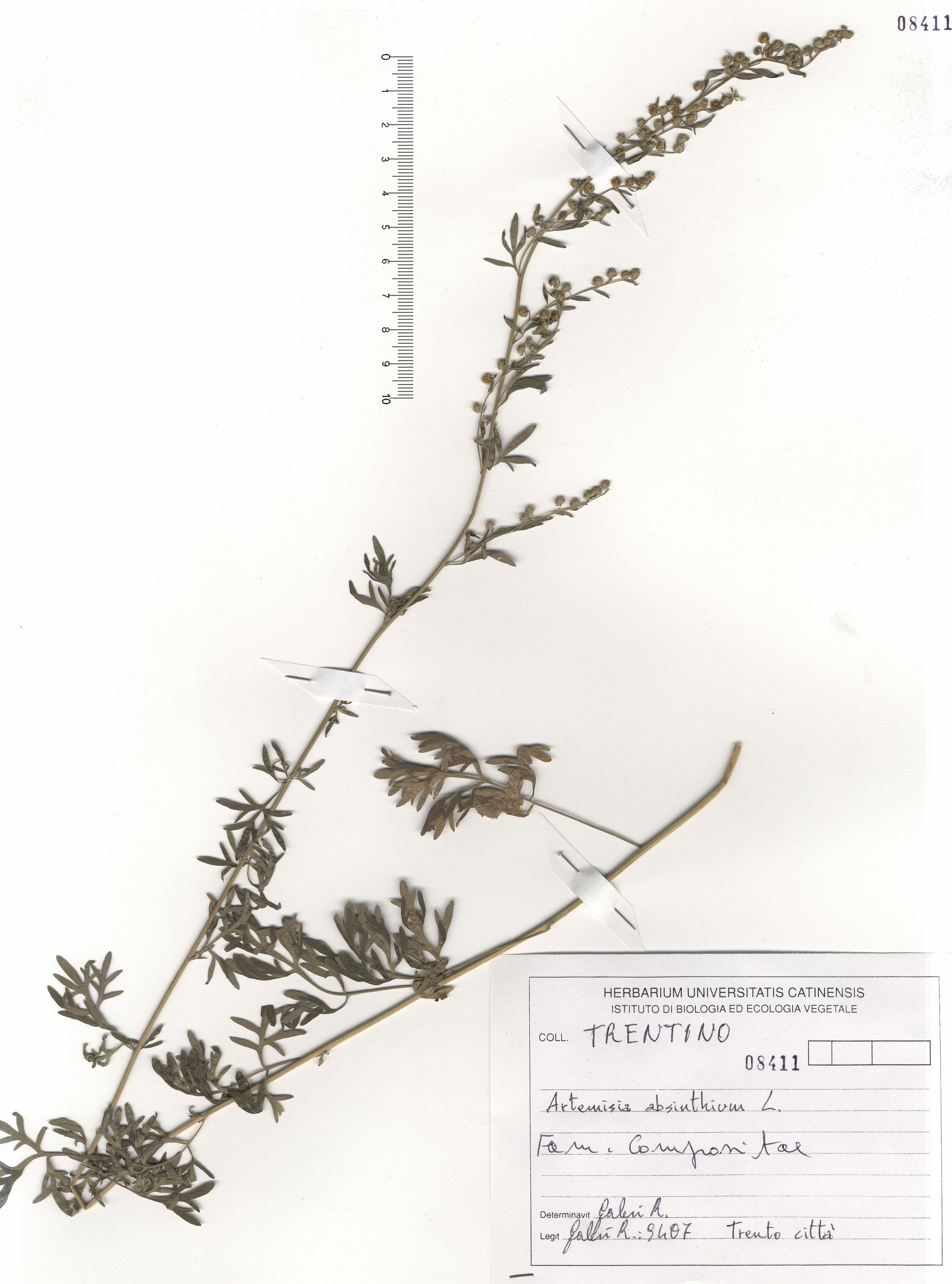 © Hortus Botanicus Catinensis - Herb. sheet 108411<br>