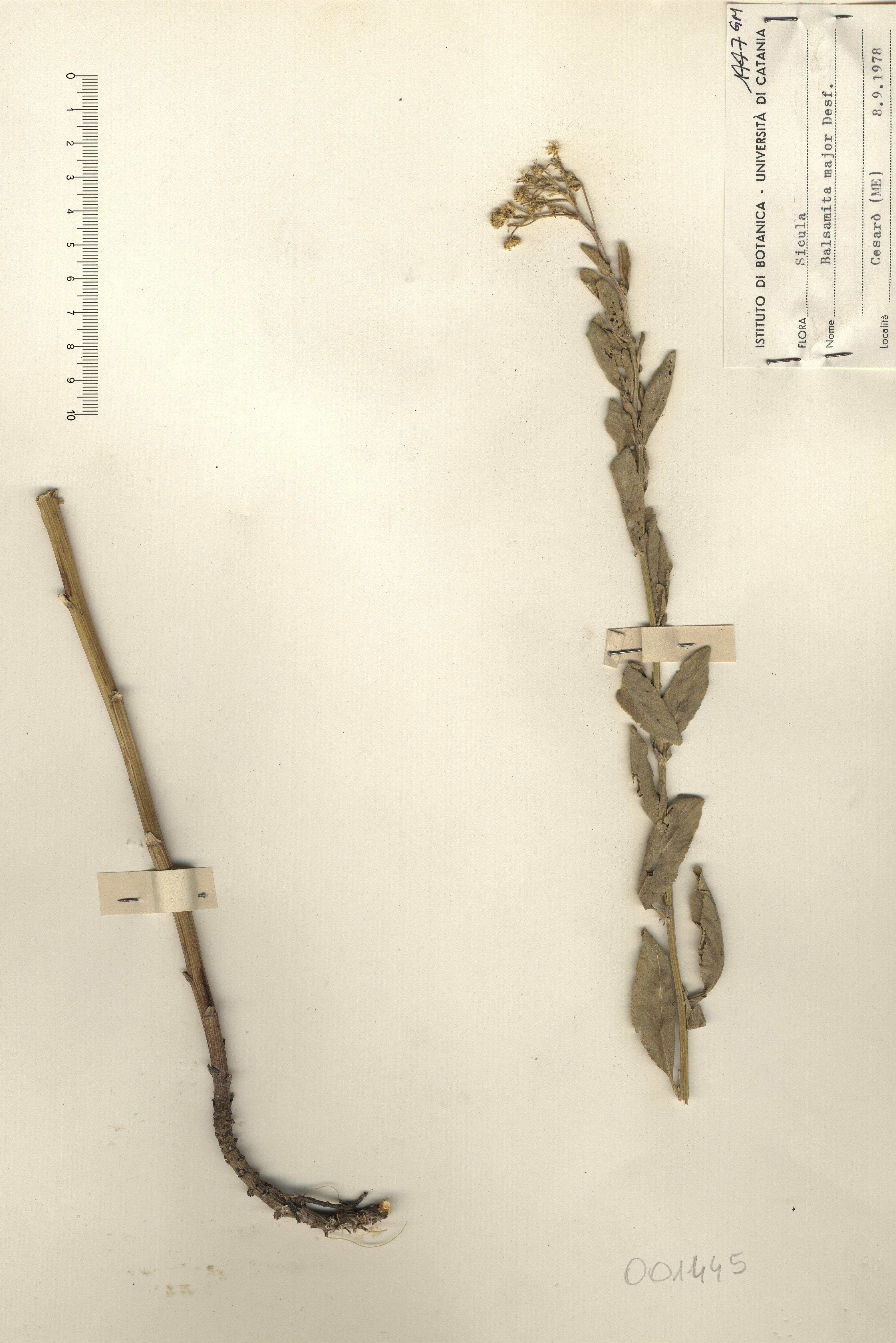 © Hortus Botanicus Catinensis - Herb. sheet 001445<br>