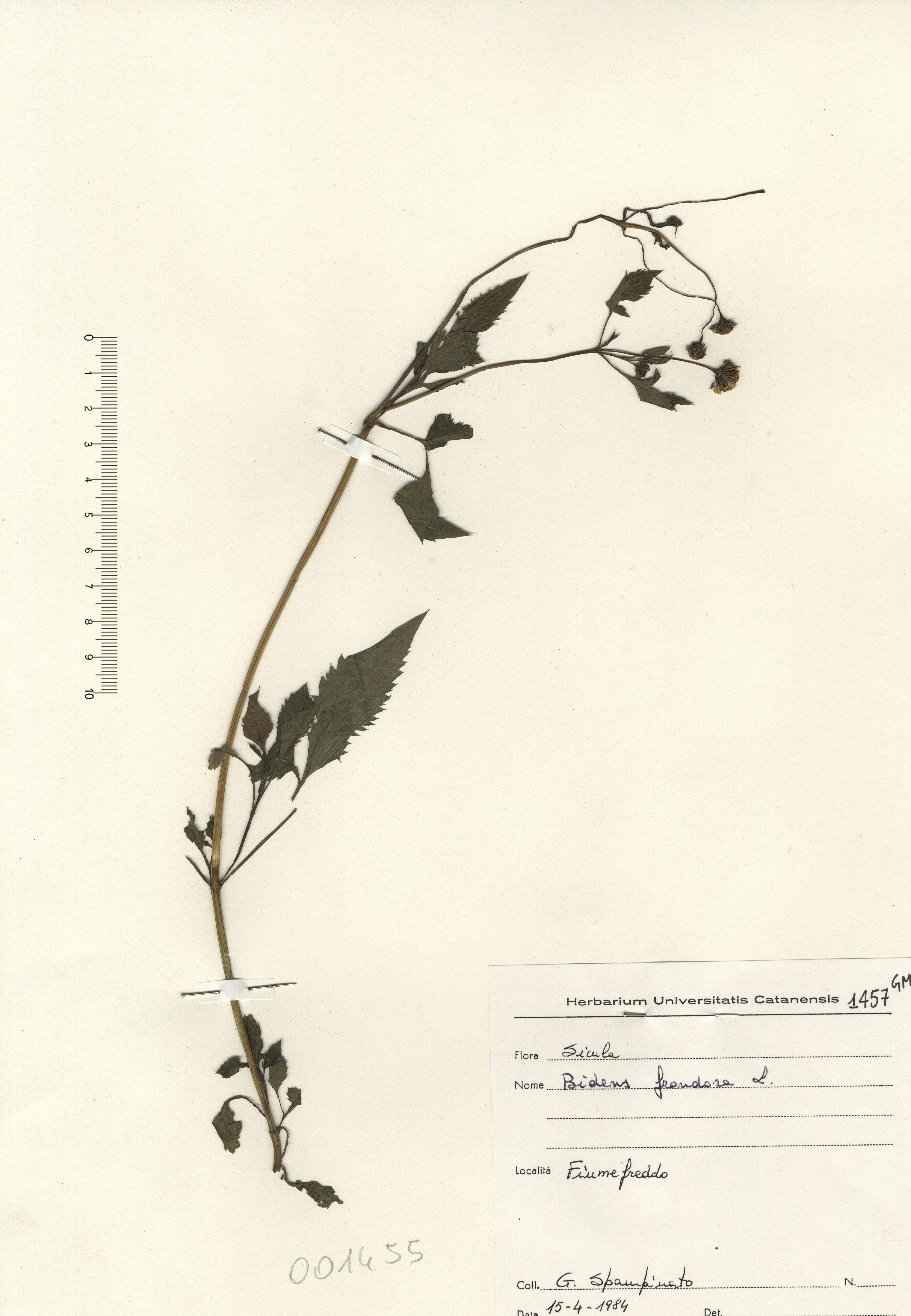 © Hortus Botanicus Catinensis - Herb. sheet 001455<br>