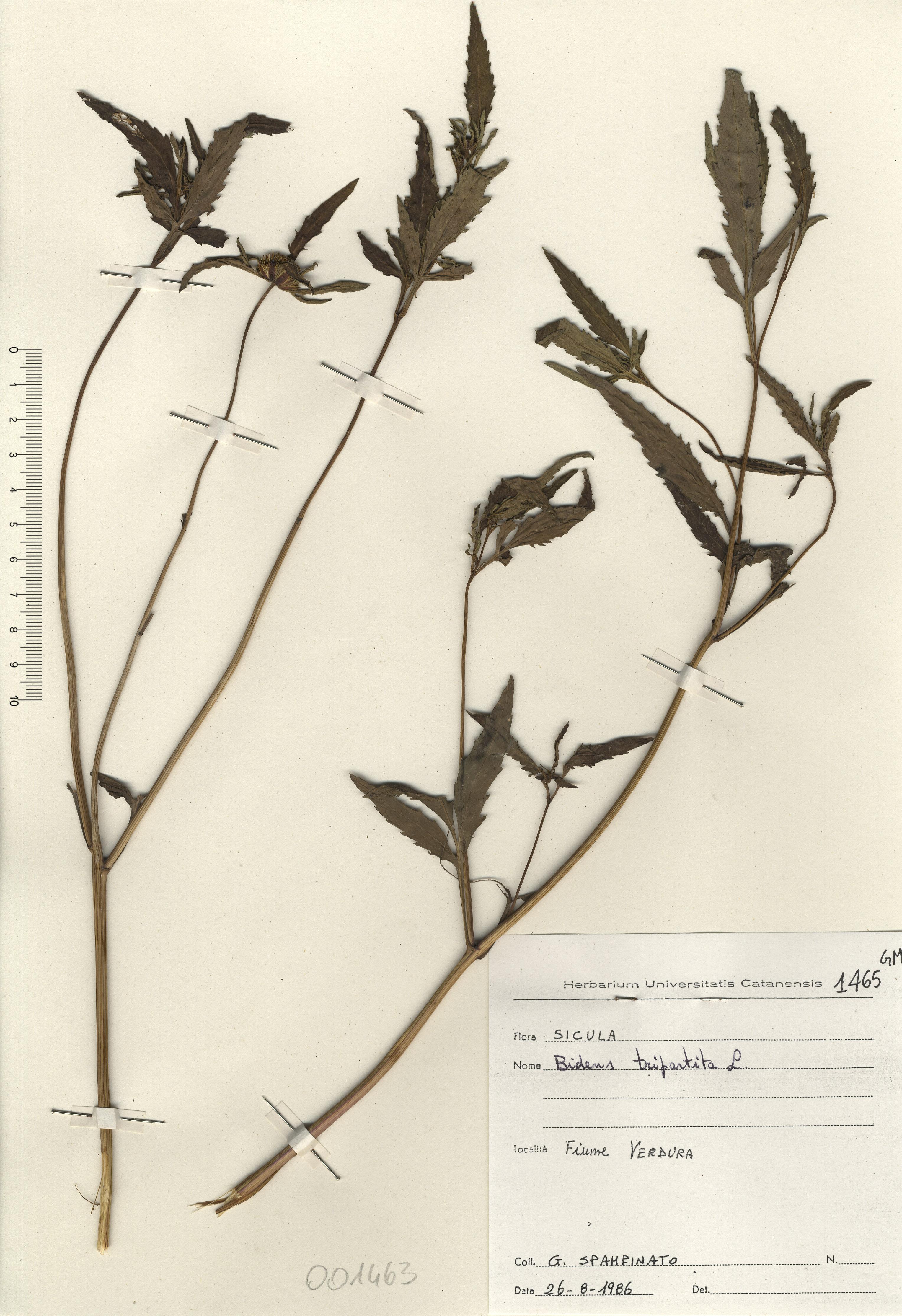 © Hortus Botanicus Catinensis - Herb. sheet 001463<br>