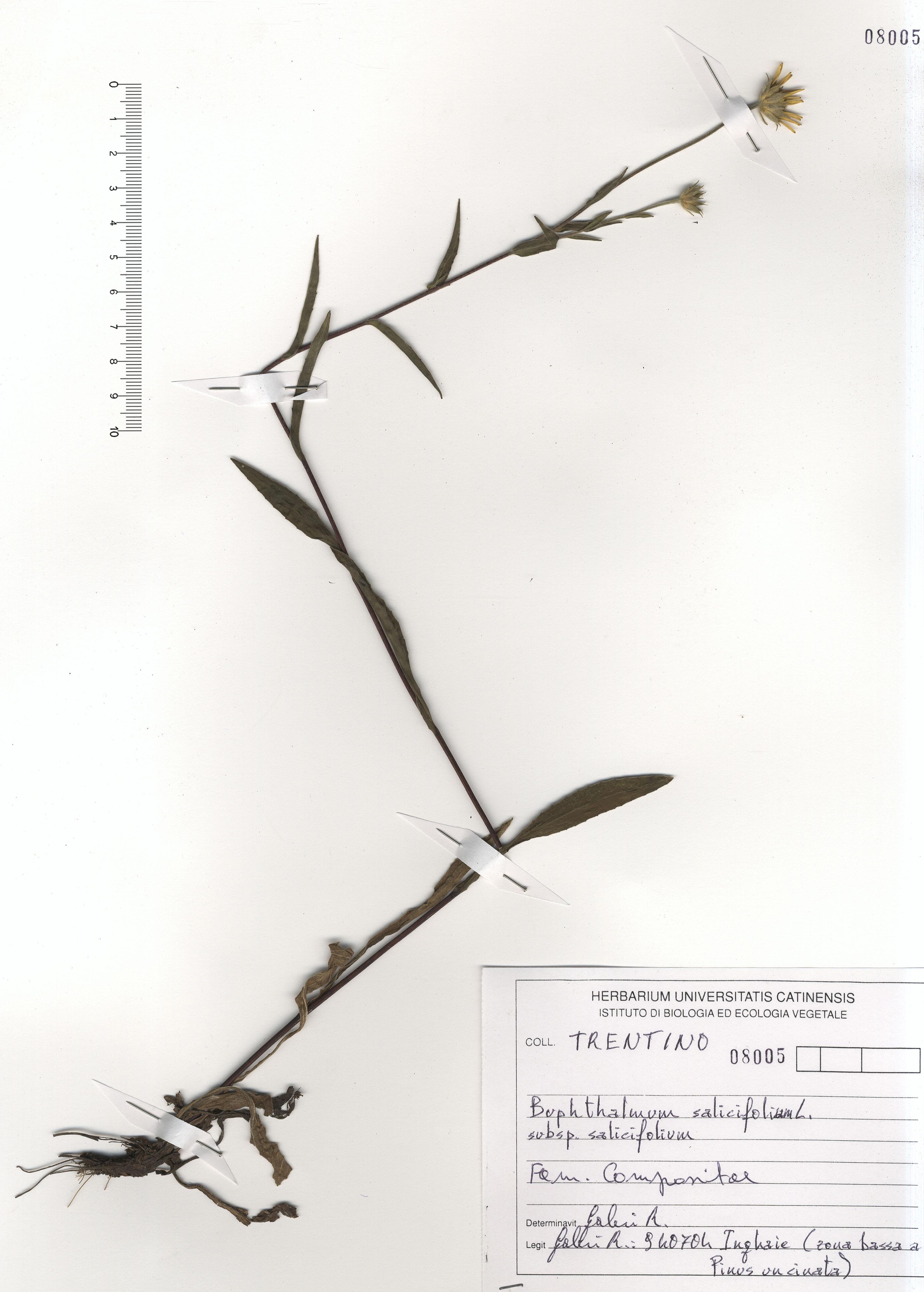 © Hortus Botanicus Catinensis - Herb. sheet 108005<br>