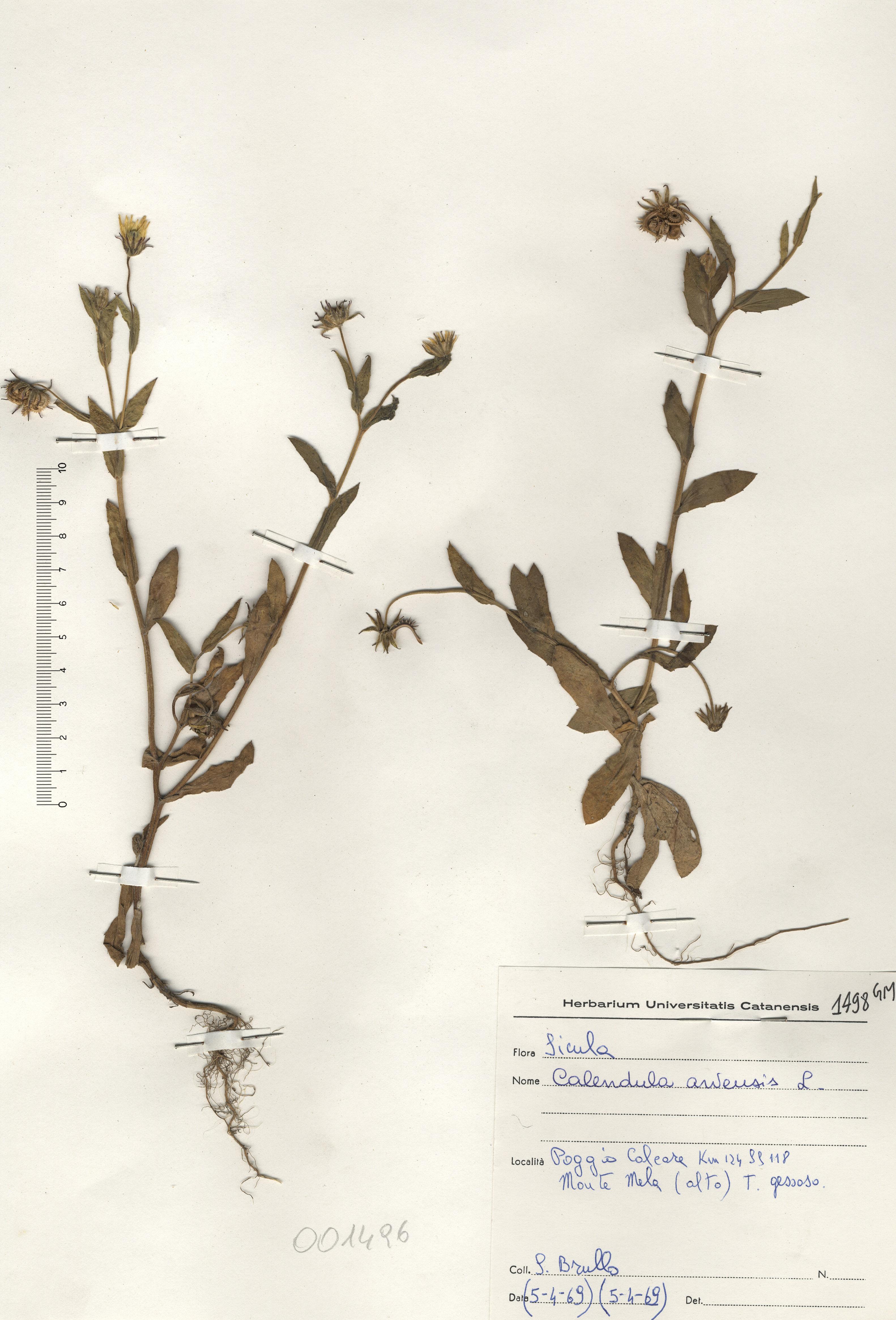 © Hortus Botanicus Catinensis - Herb. sheet 001496<br>