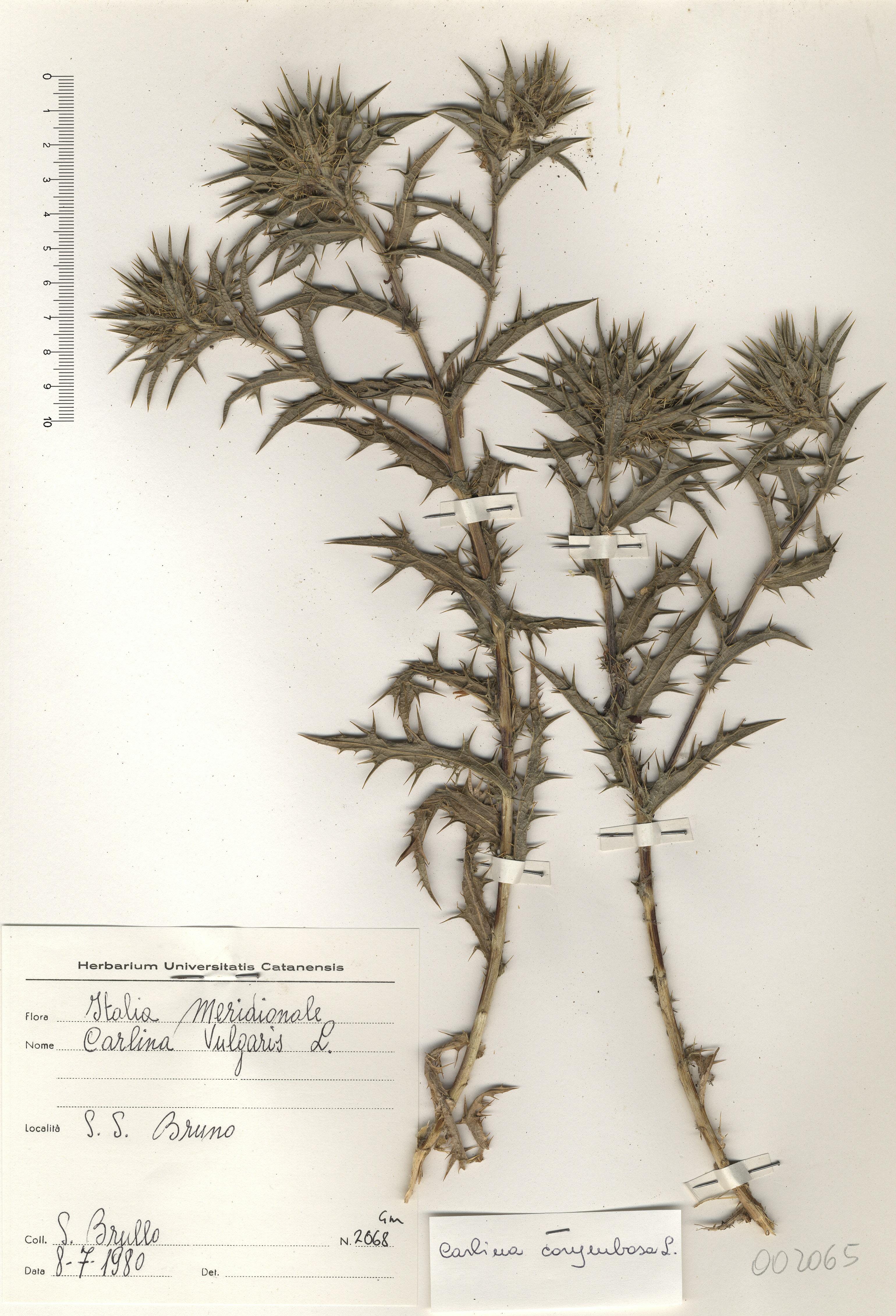 © Hortus Botanicus Catinensis - Herb. sheet 002065<br>