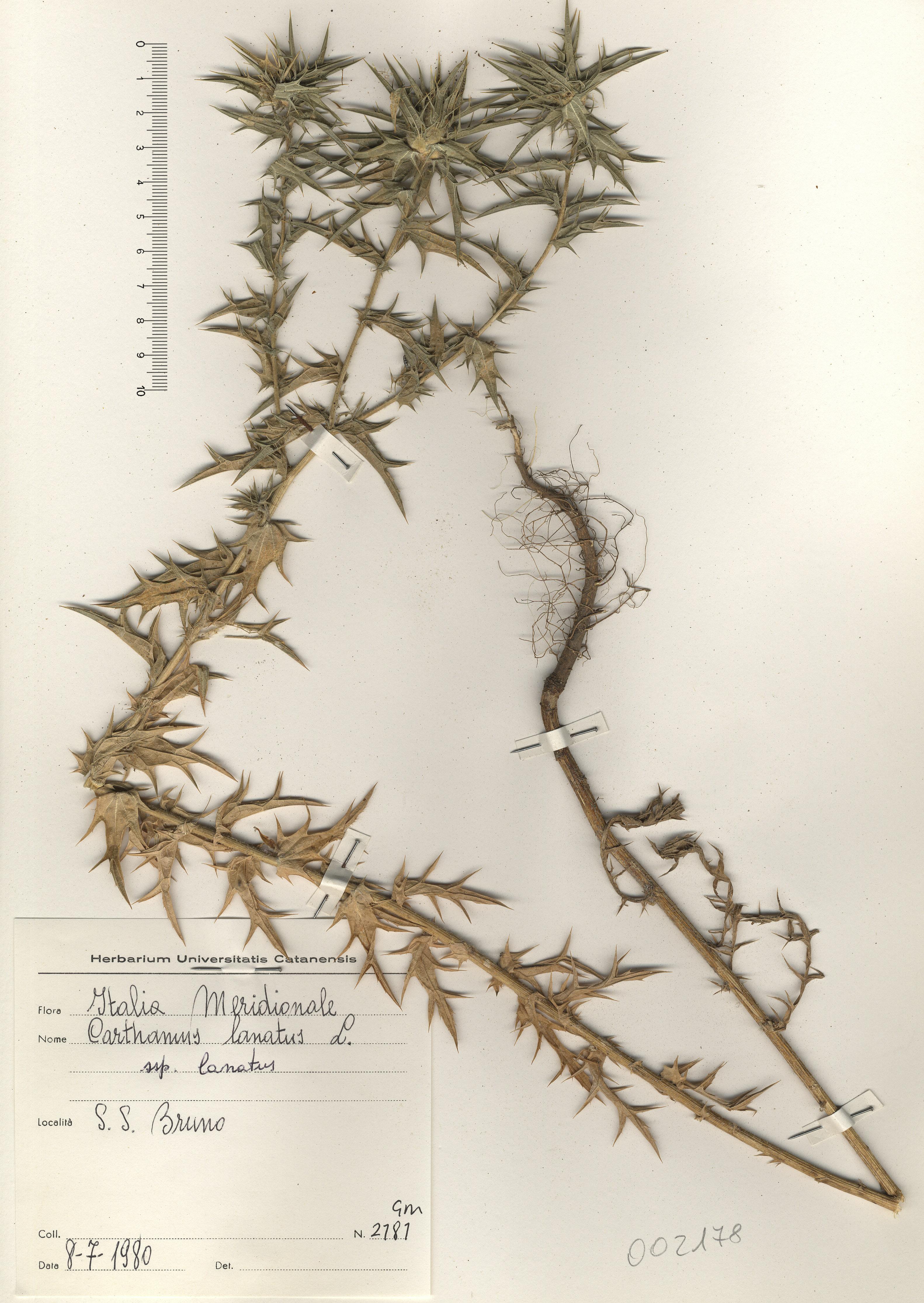 © Hortus Botanicus Catinensis - Herb. sheet 002178<br>