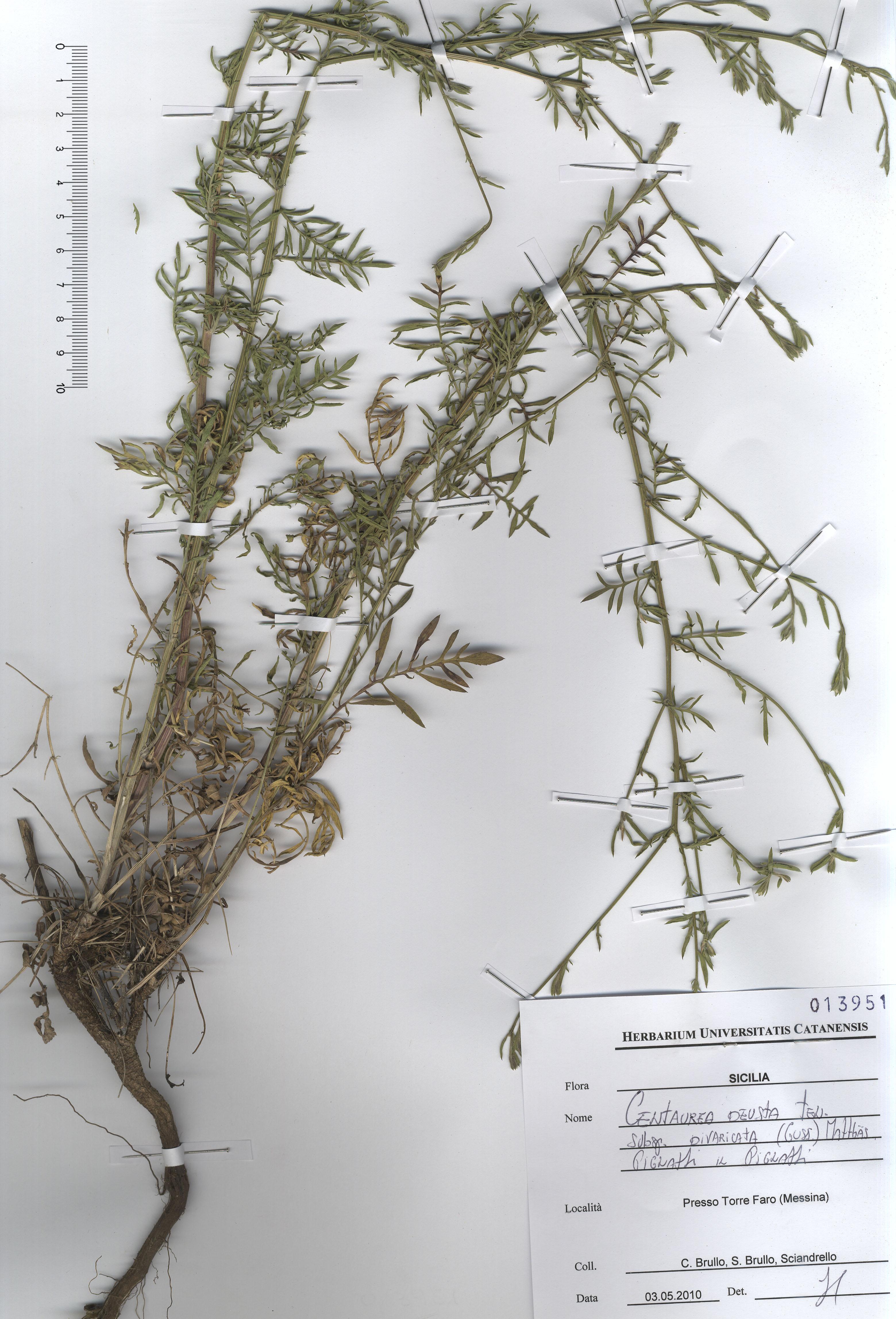 © Hortus Botanicus Catinensis - Herb. sheet 013951<br>