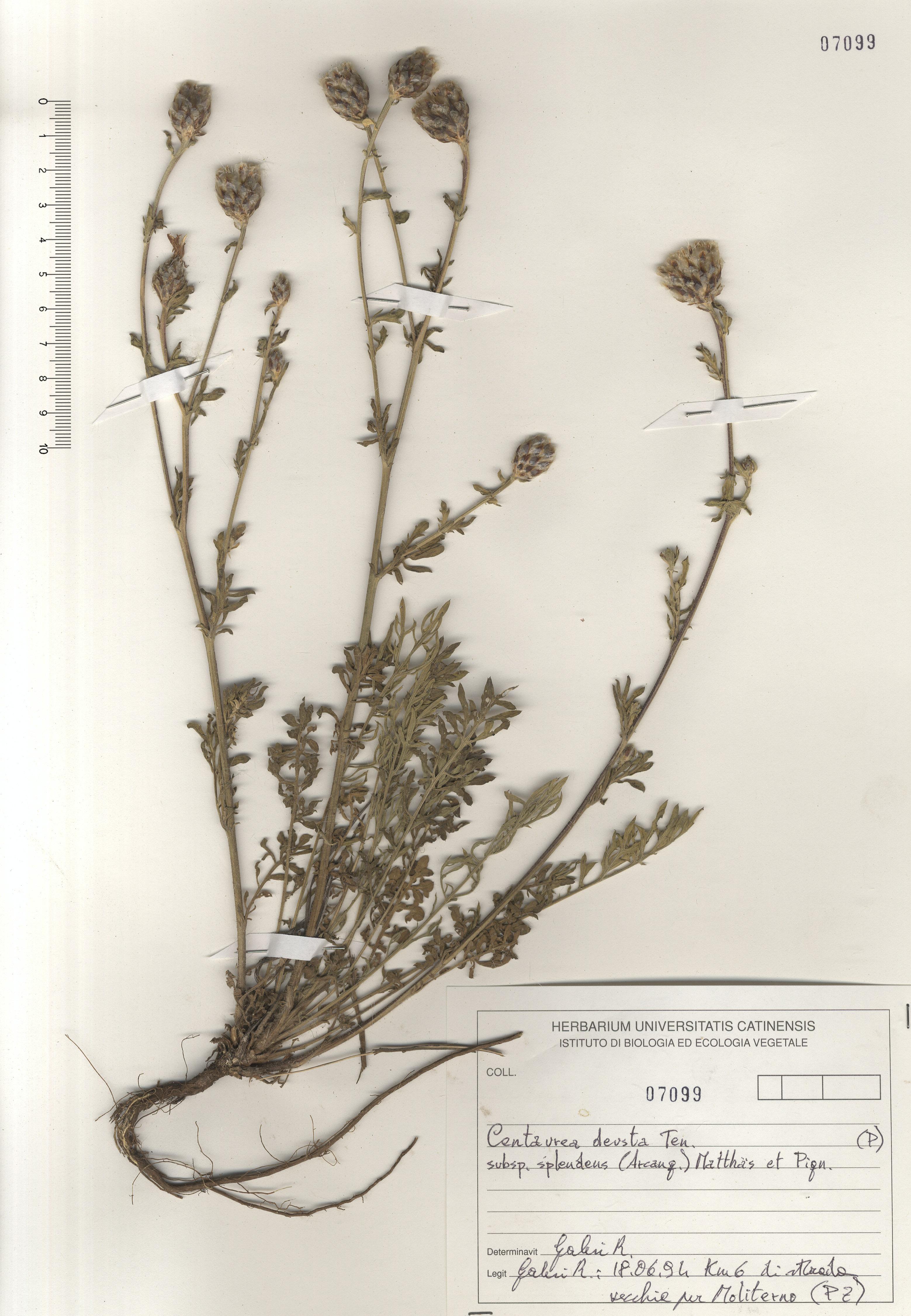 © Hortus Botanicus Catinensis - Herb. sheet 107099<br>