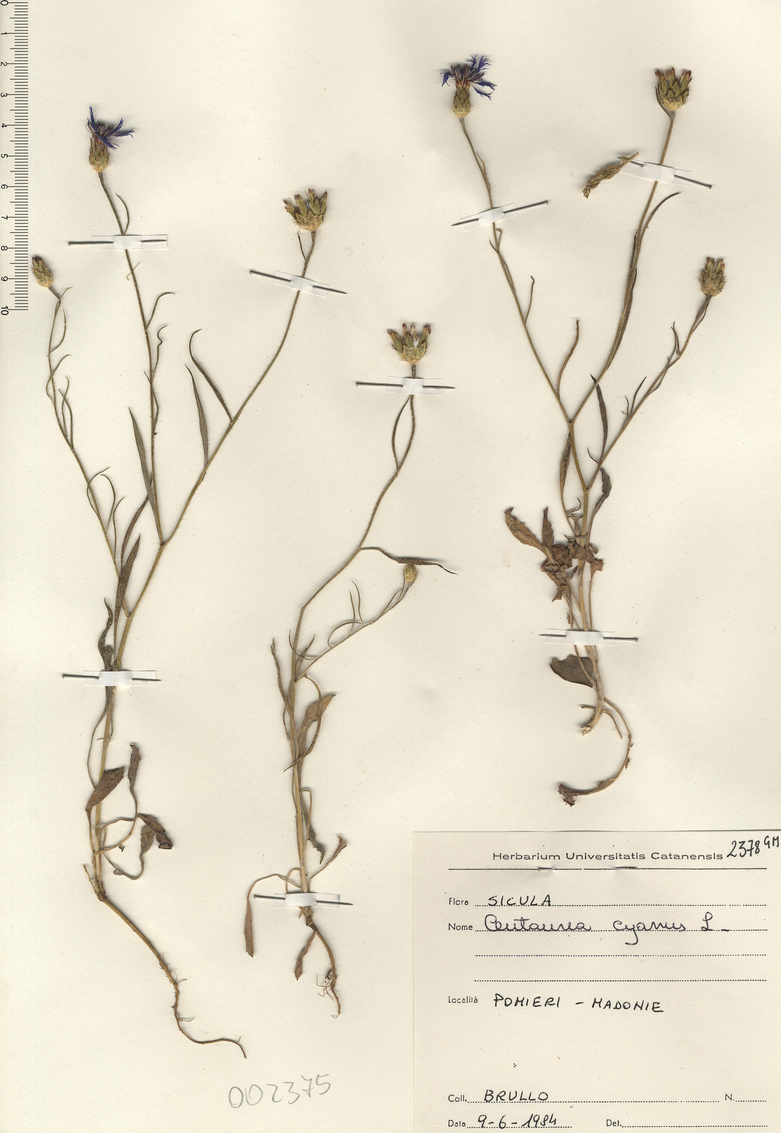 © Hortus Botanicus Catinensis - Herb. sheet 002375<br>