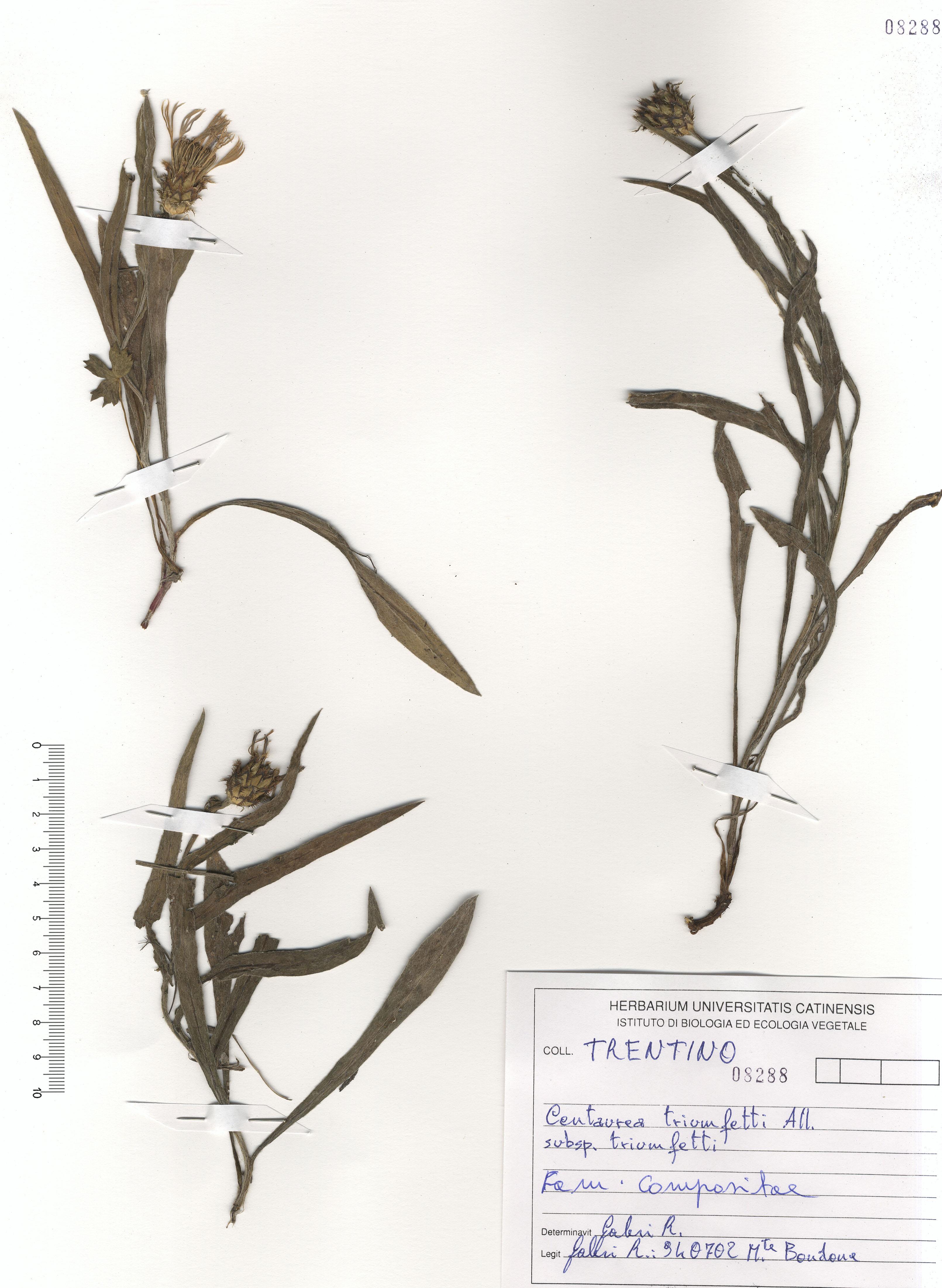 © Hortus Botanicus Catinensis - Herb. sheet 108288<br>