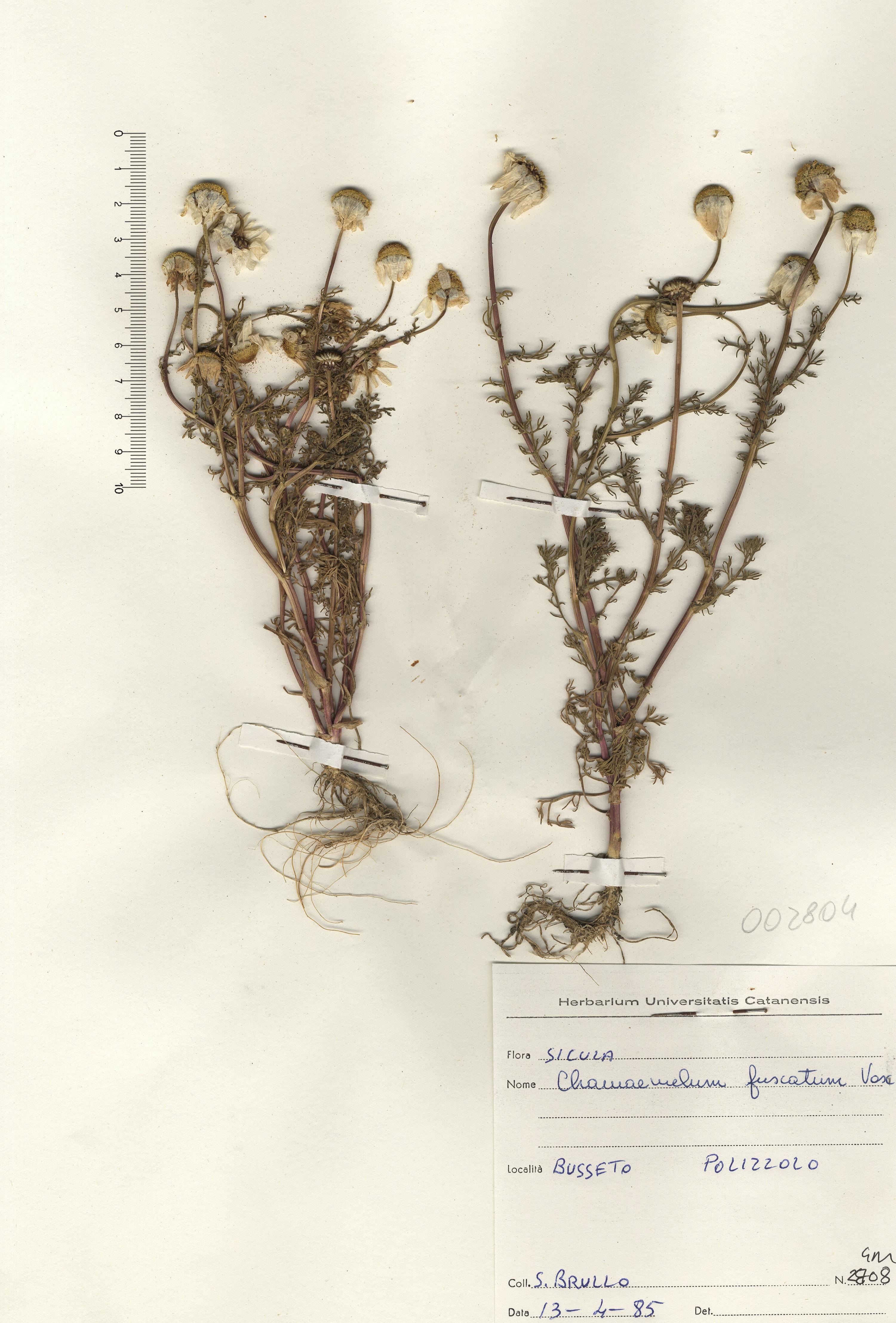 © Hortus Botanicus Catinensis - Herb. sheet 002804<br>
