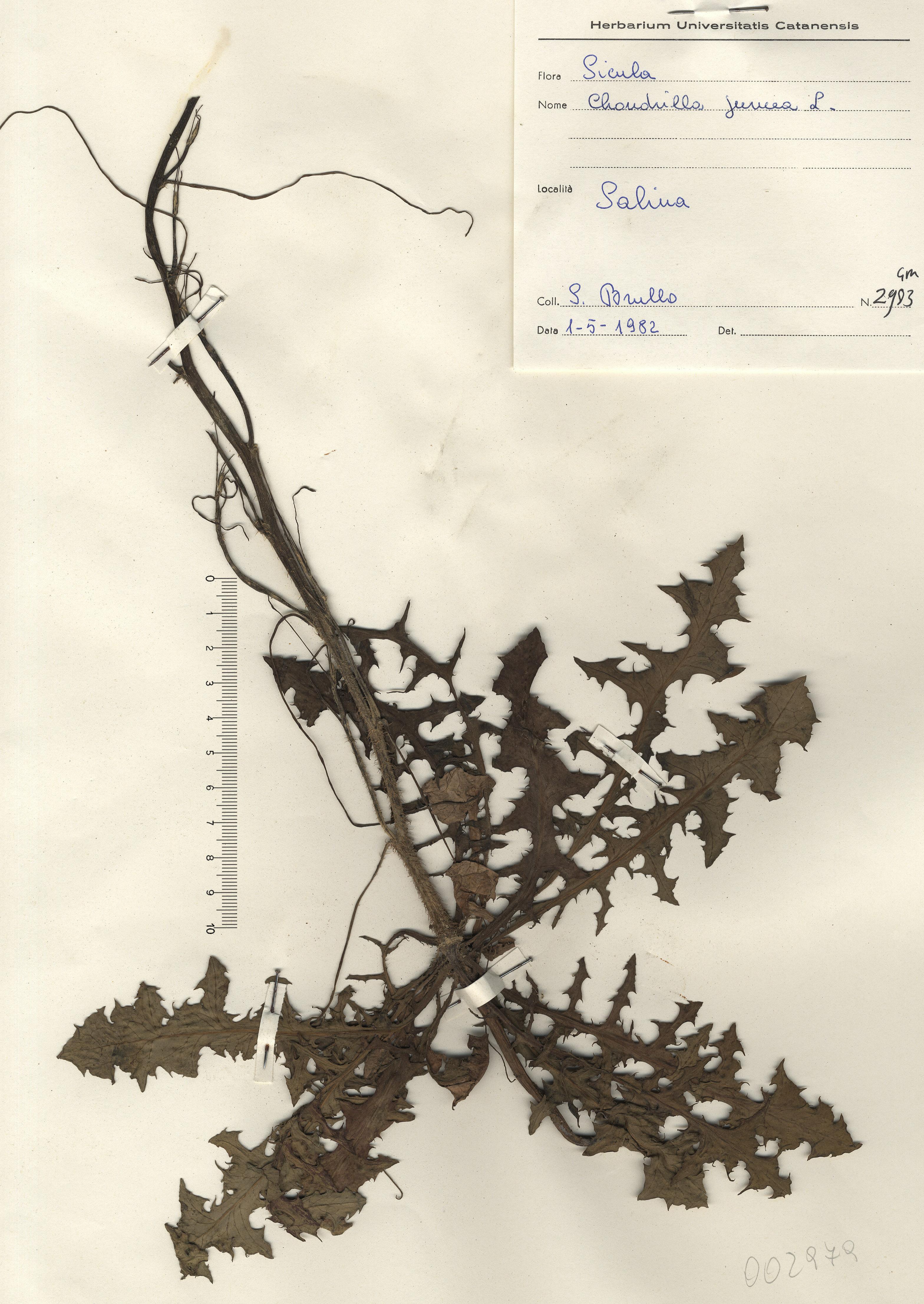 © Hortus Botanicus Catinensis - Herb. sheet 002979<br>