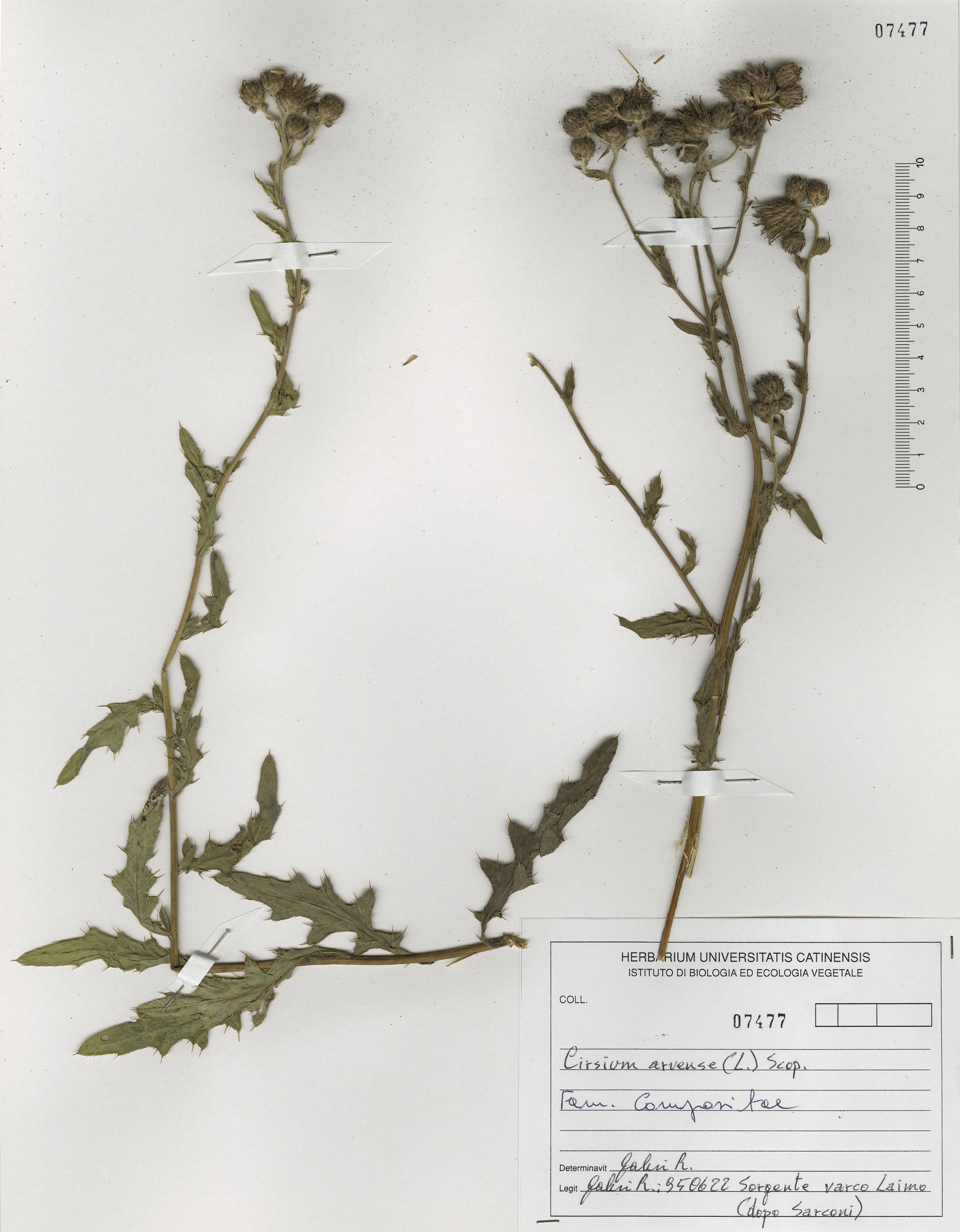 © Hortus Botanicus Catinensis - Herb. sheet 107477<br>