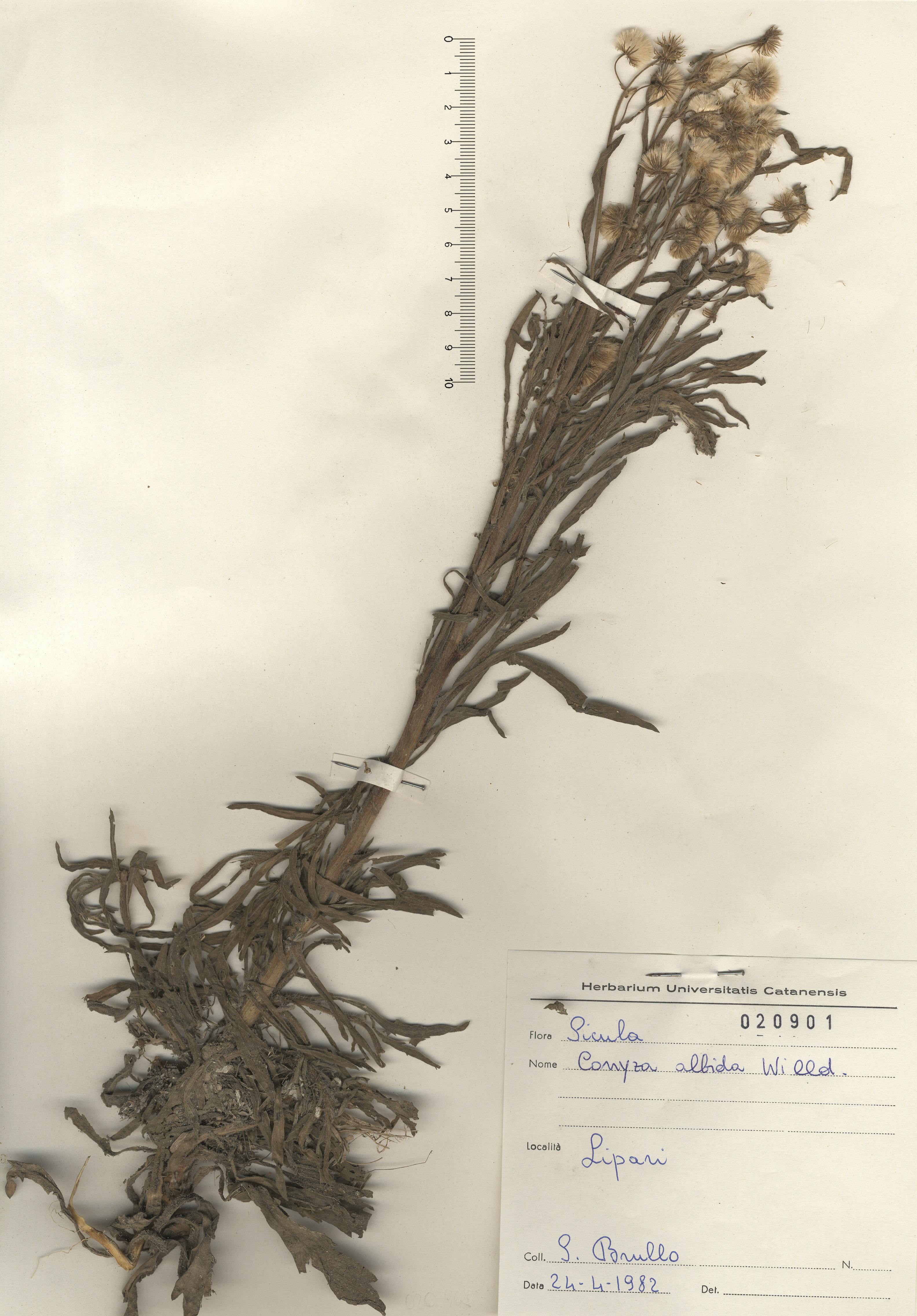 © Hortus Botanicus Catinensis - Herb. sheet 020901<br>